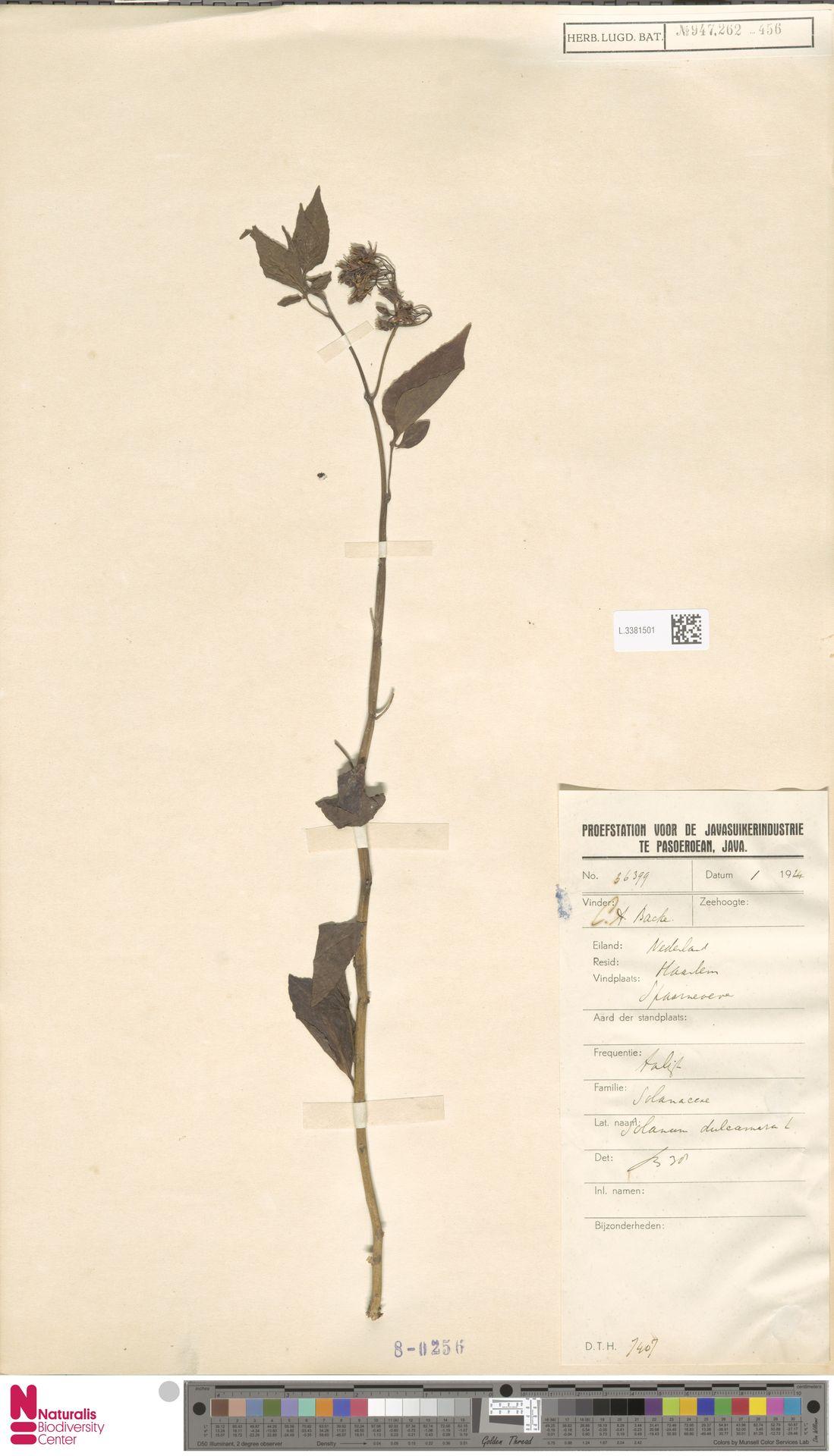 L.3381501 | Solanum dulcamara L.