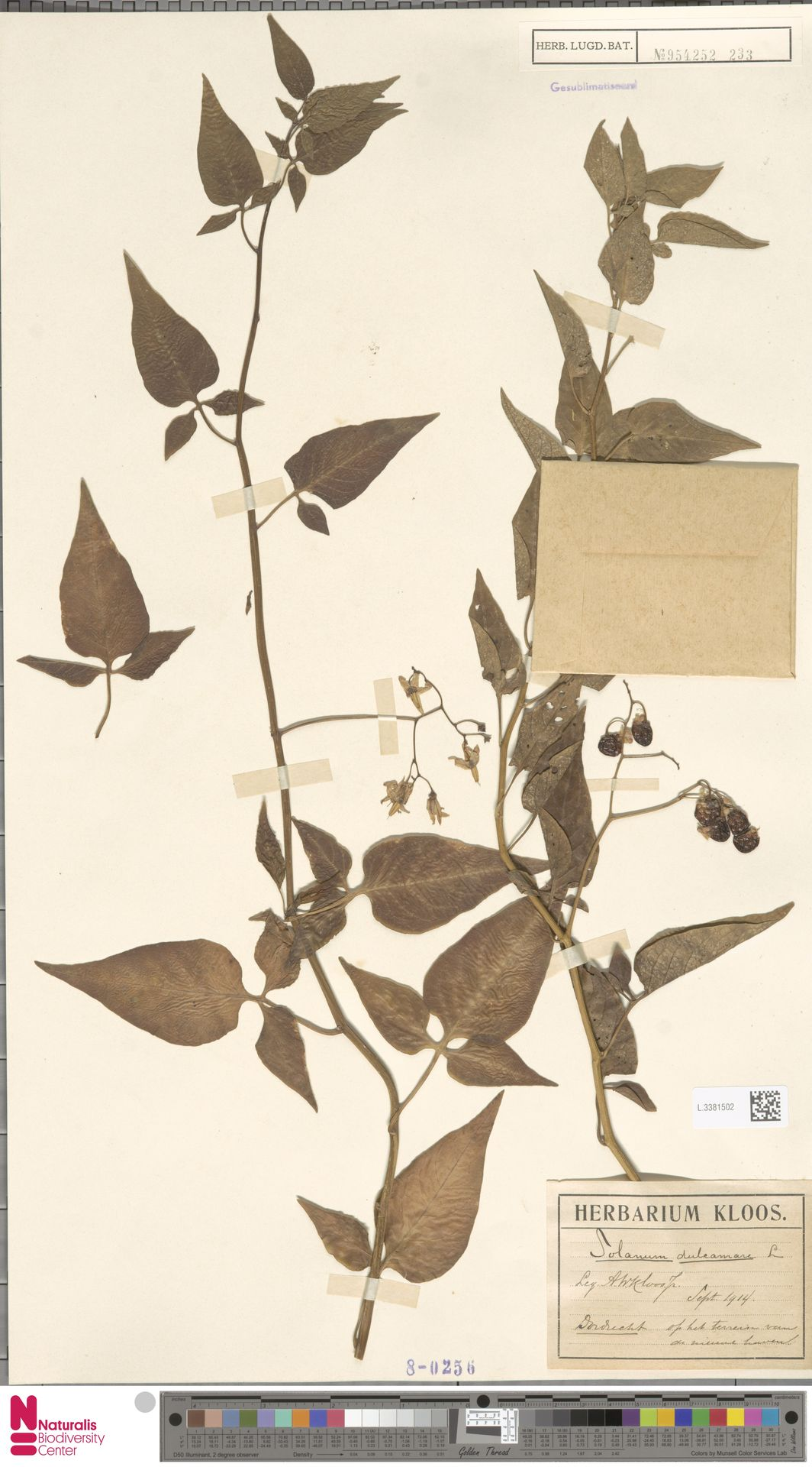 L.3381502 | Solanum dulcamara L.