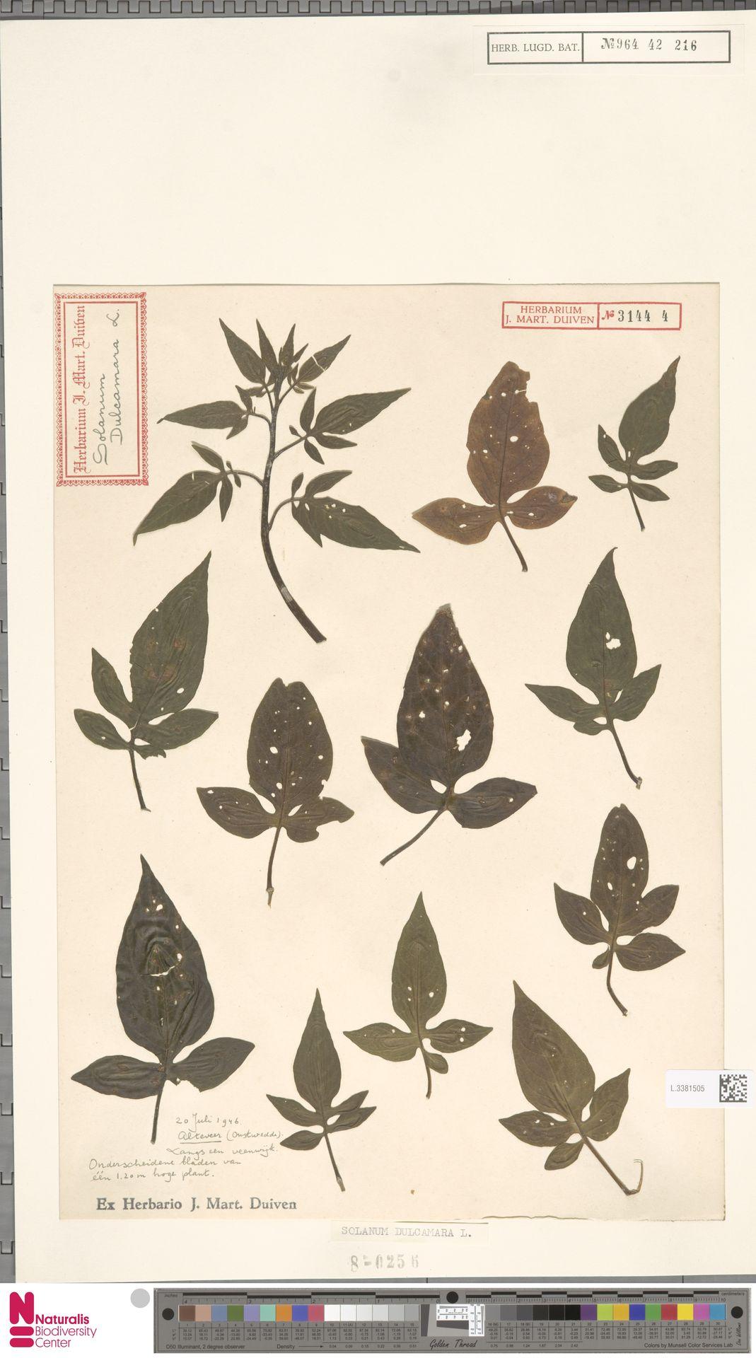 L.3381505 | Solanum dulcamara L.