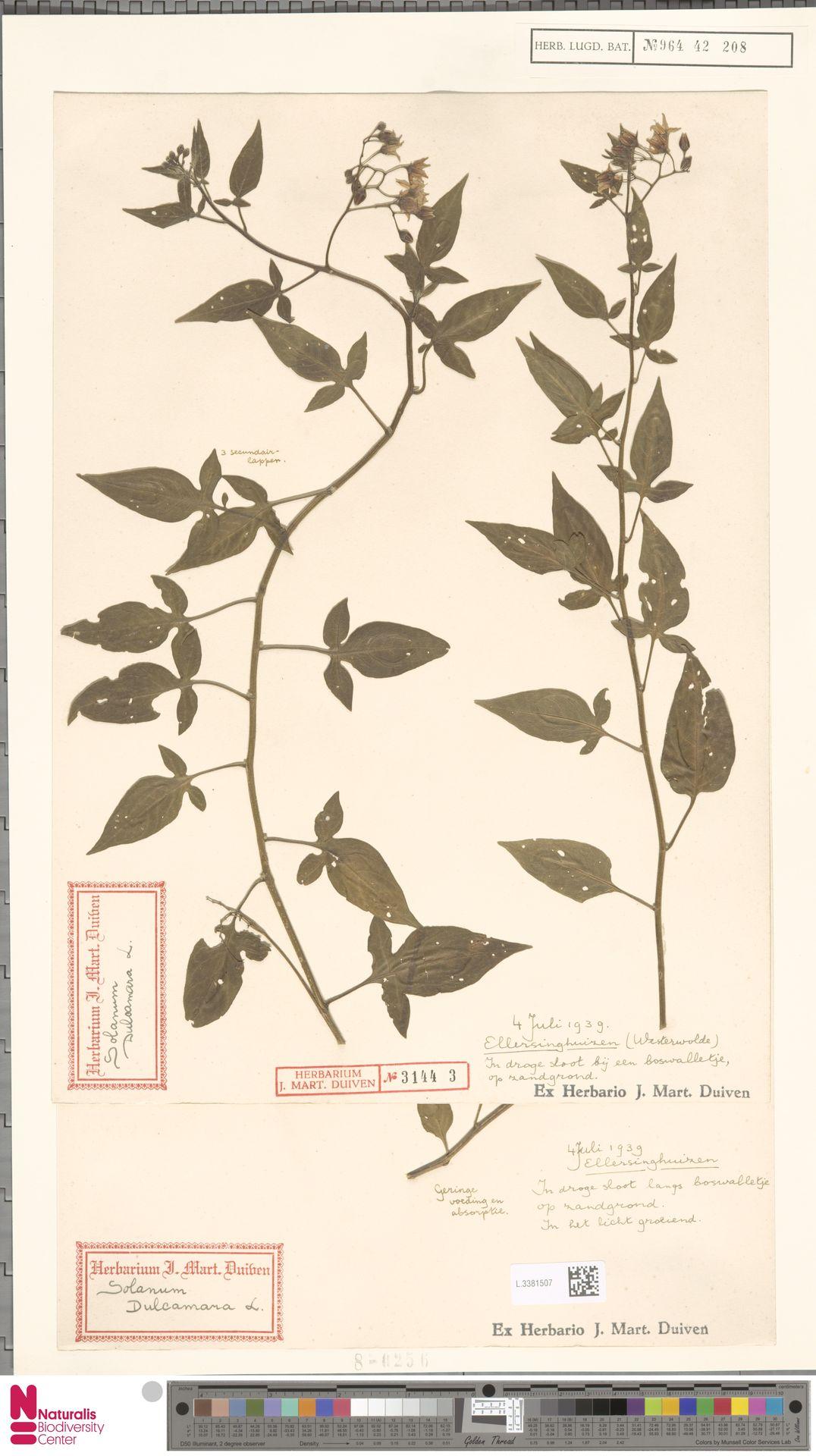 L.3381507 | Solanum dulcamara L.