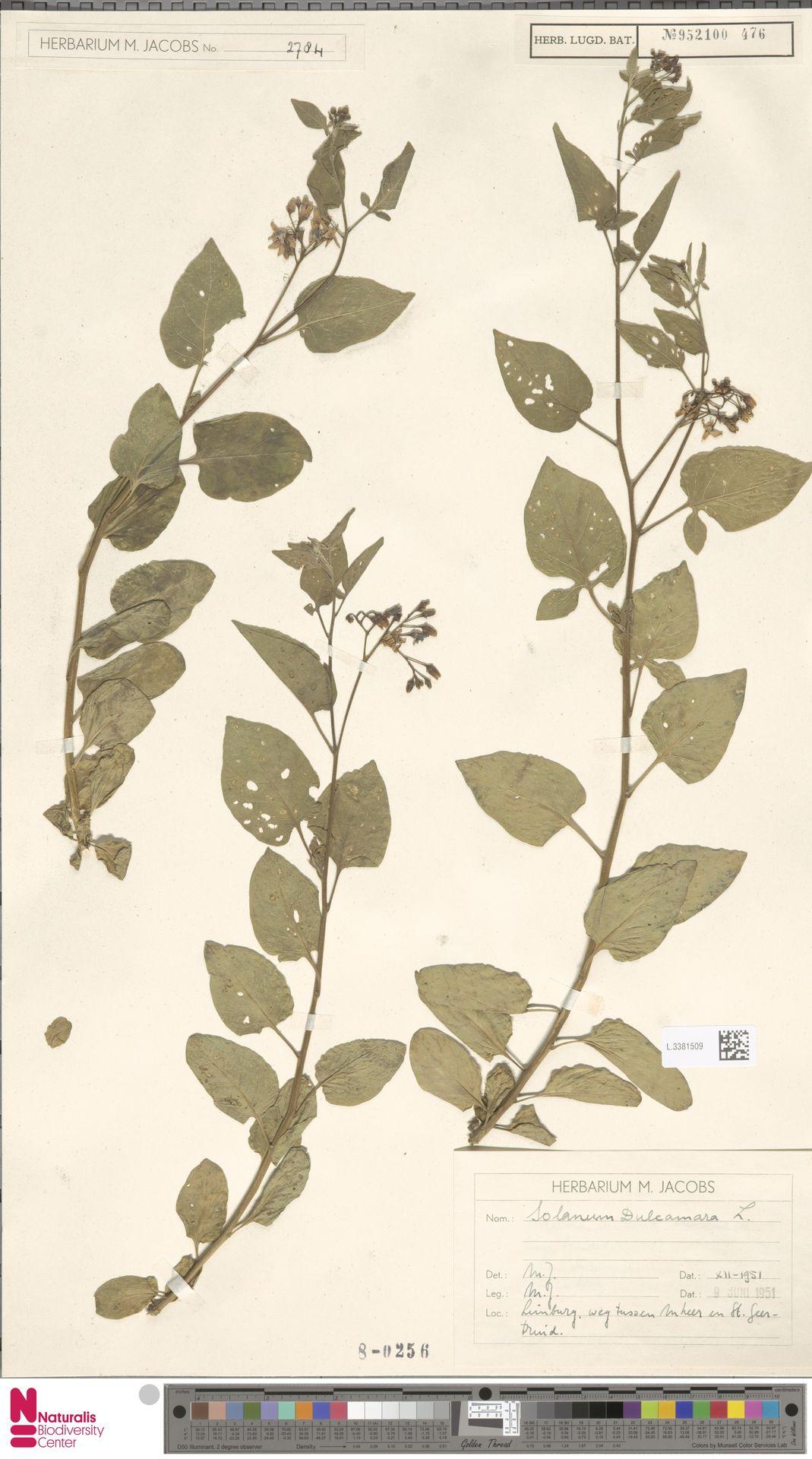 L.3381509 | Solanum dulcamara L.