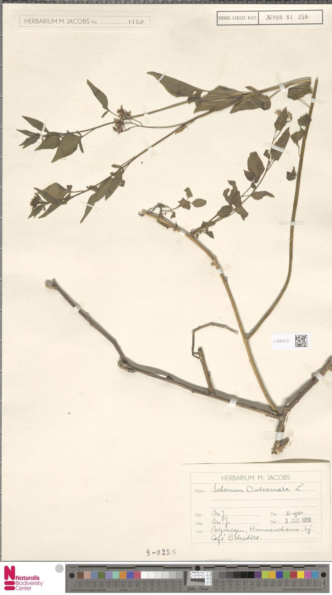 L.3381512 | Solanum dulcamara L.