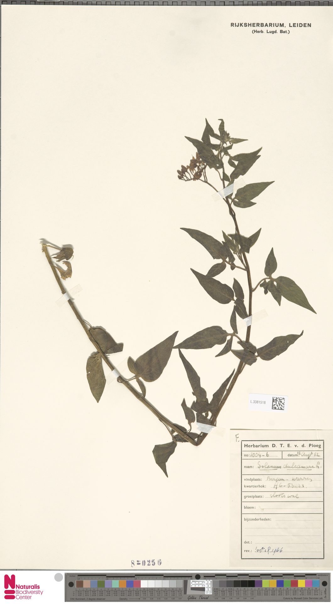 L.3381518 | Solanum dulcamara L.