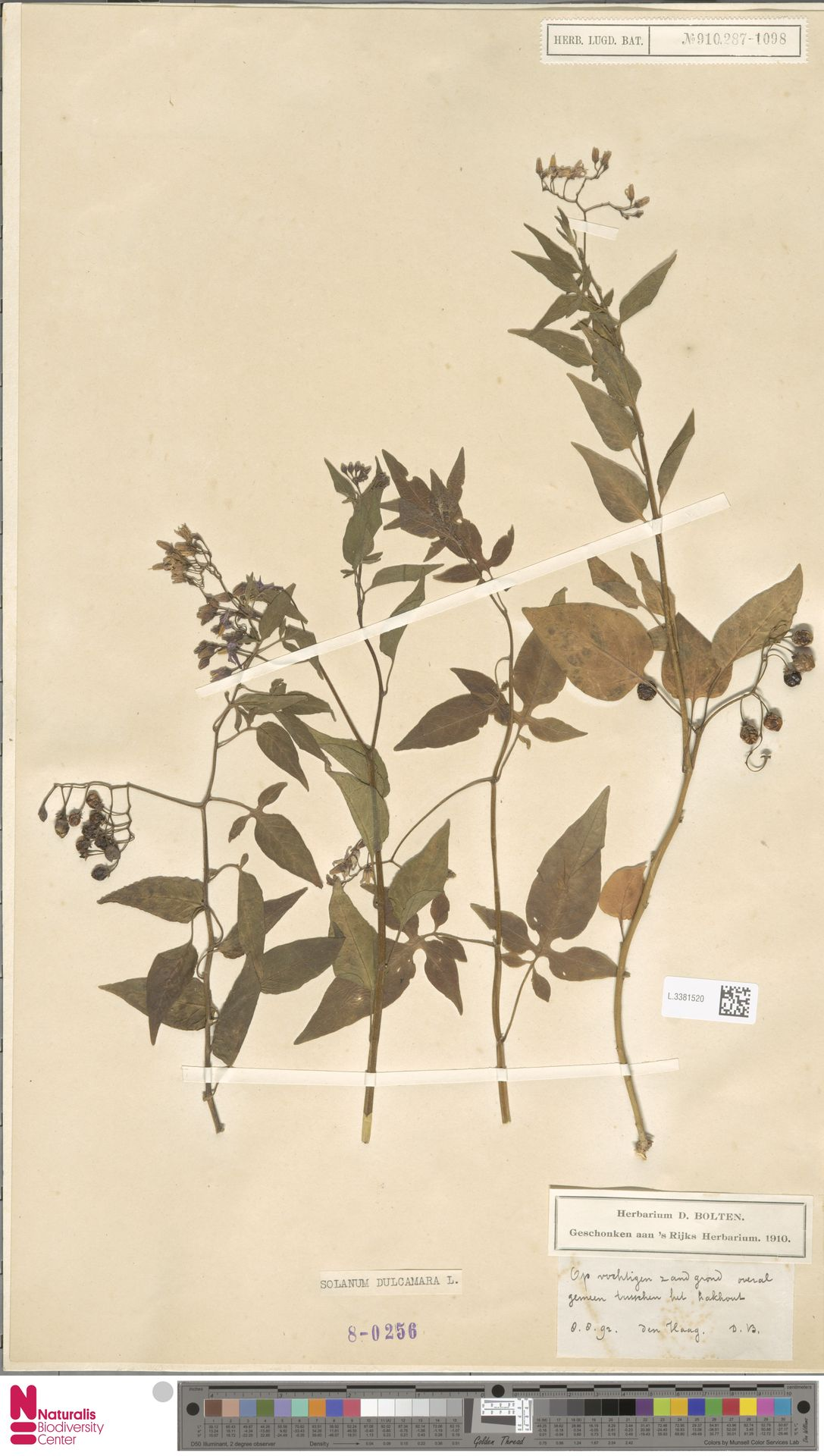L.3381520 | Solanum dulcamara L.