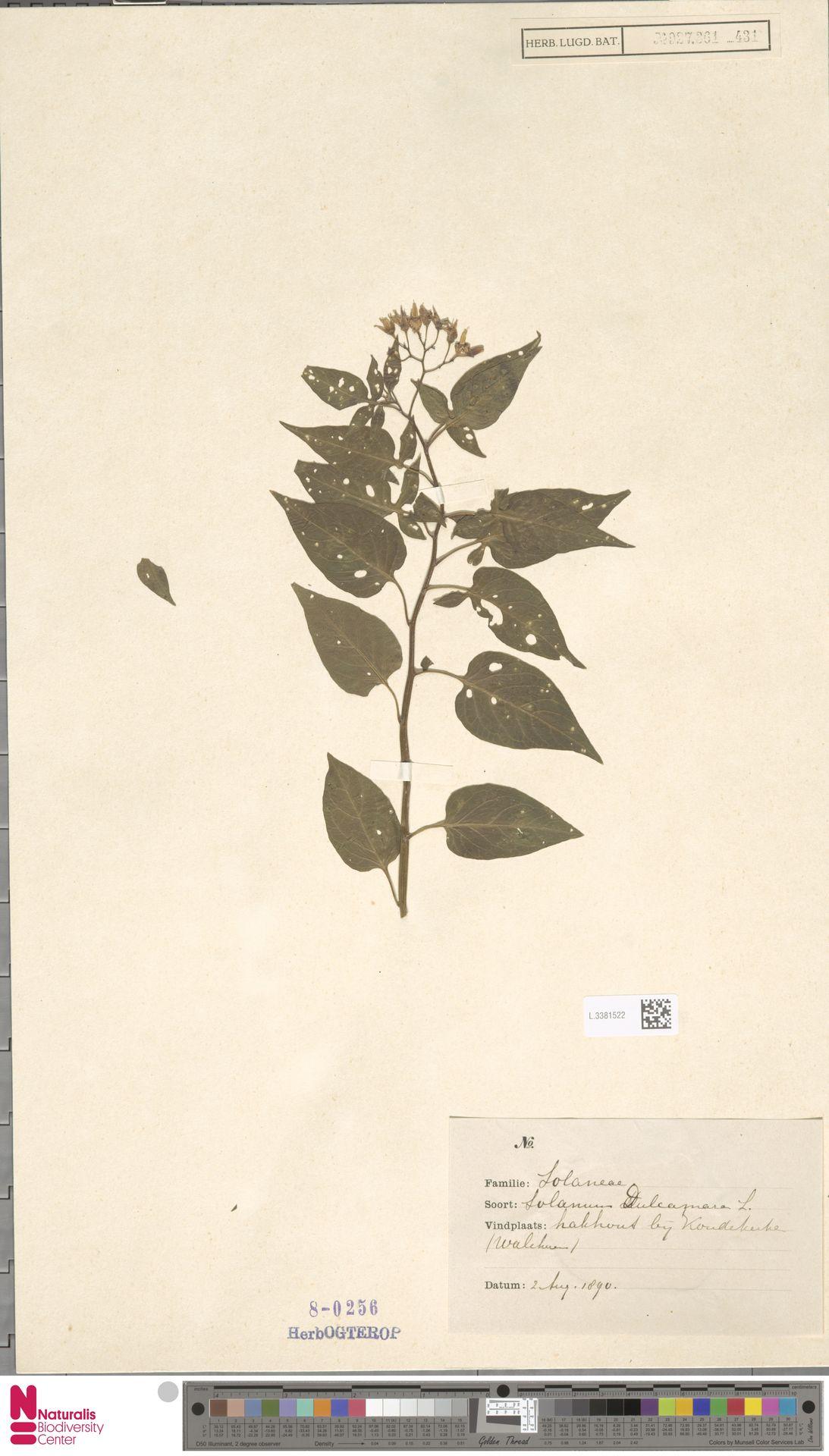 L.3381522 | Solanum dulcamara L.