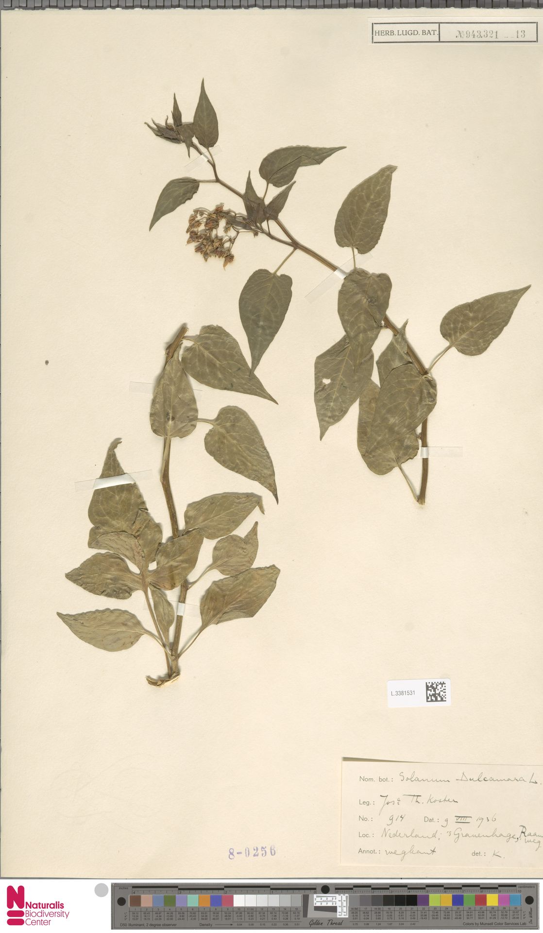 L.3381531 | Solanum dulcamara L.