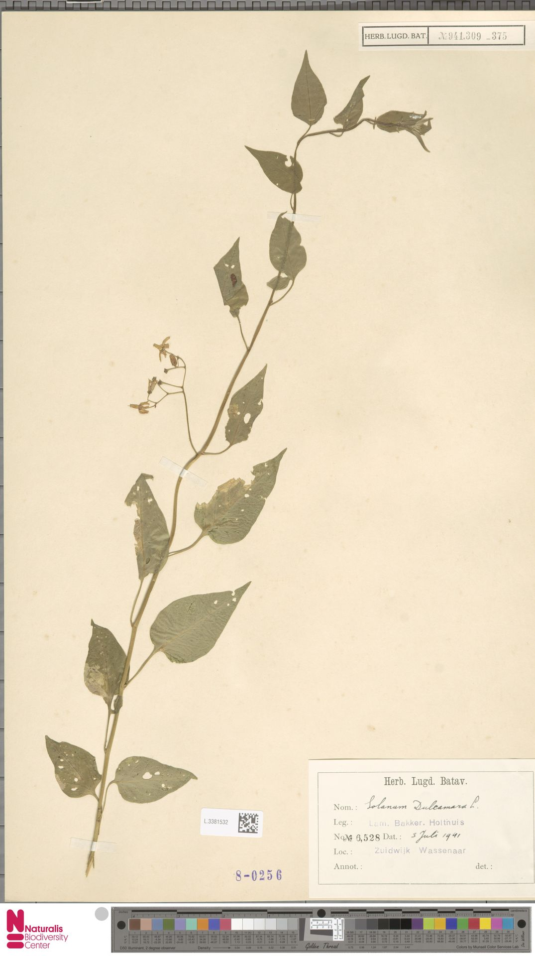 L.3381532 | Solanum dulcamara L.