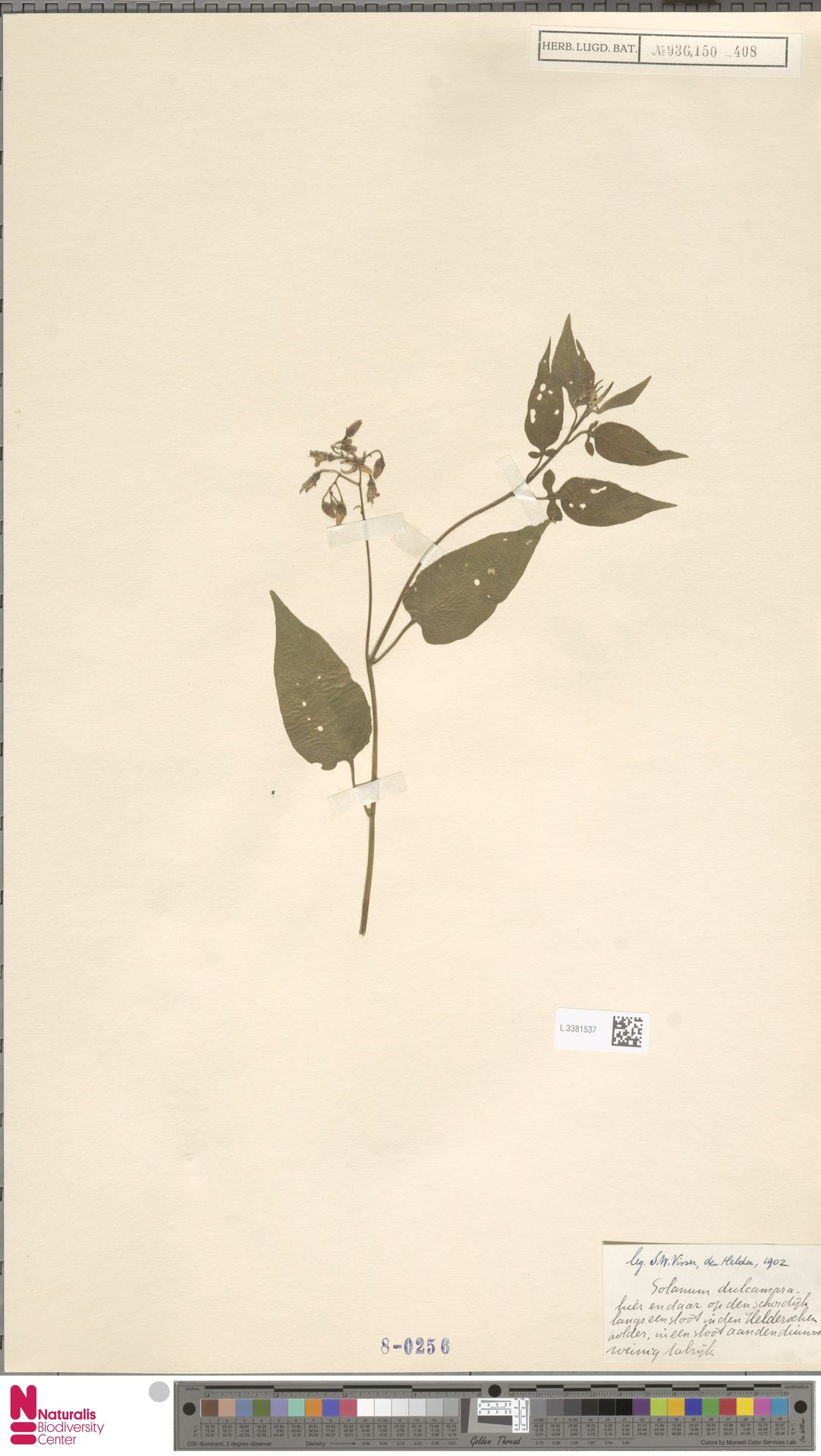 L.3381537 | Solanum dulcamara L.