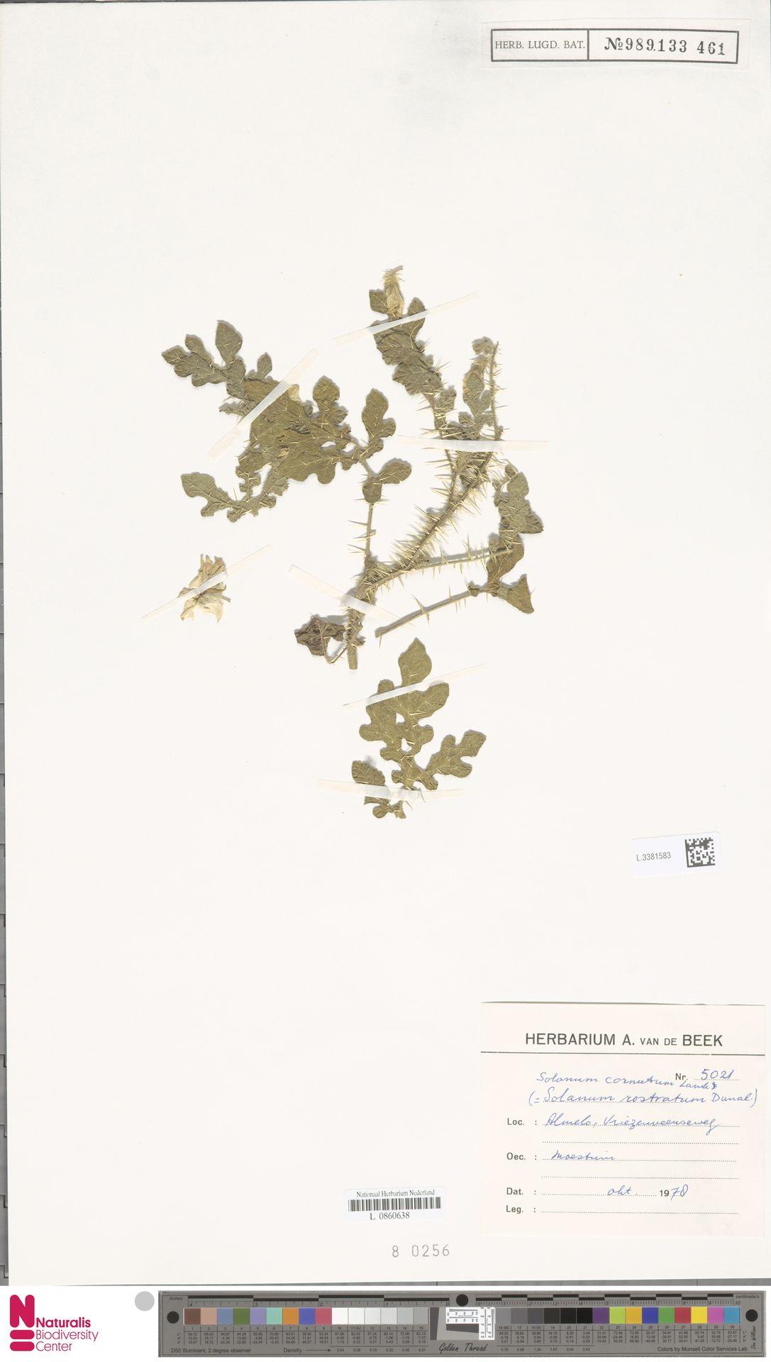 L.3381583 | Solanum rostratum Dunal