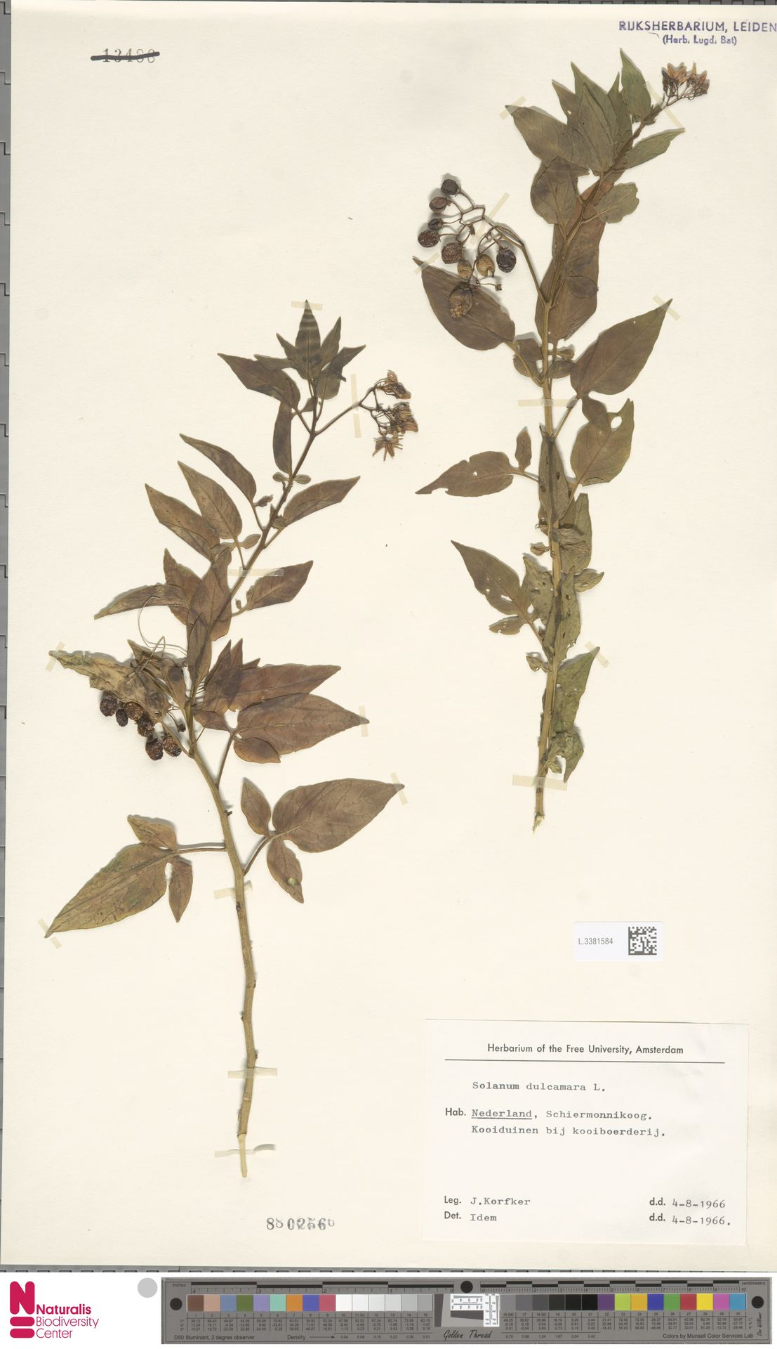 L.3381584   Solanum dulcamara L.