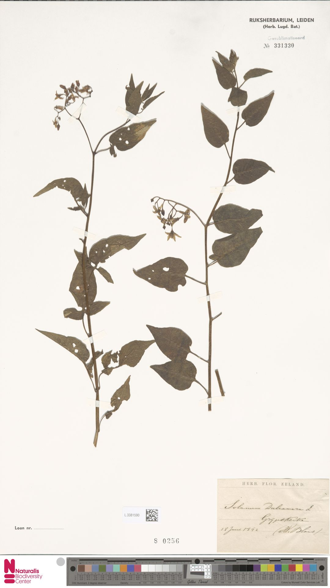 L.3381590 | Solanum dulcamara L.