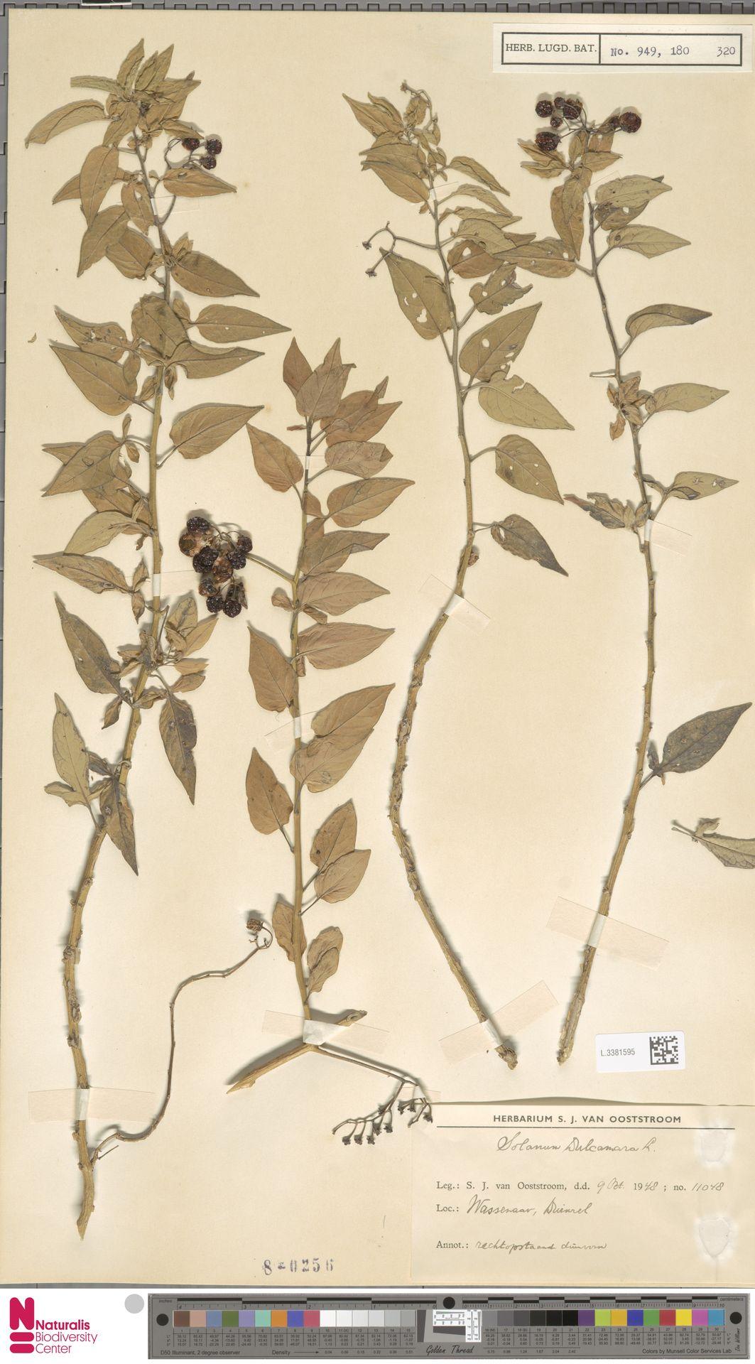 L.3381595 | Solanum dulcamara L.