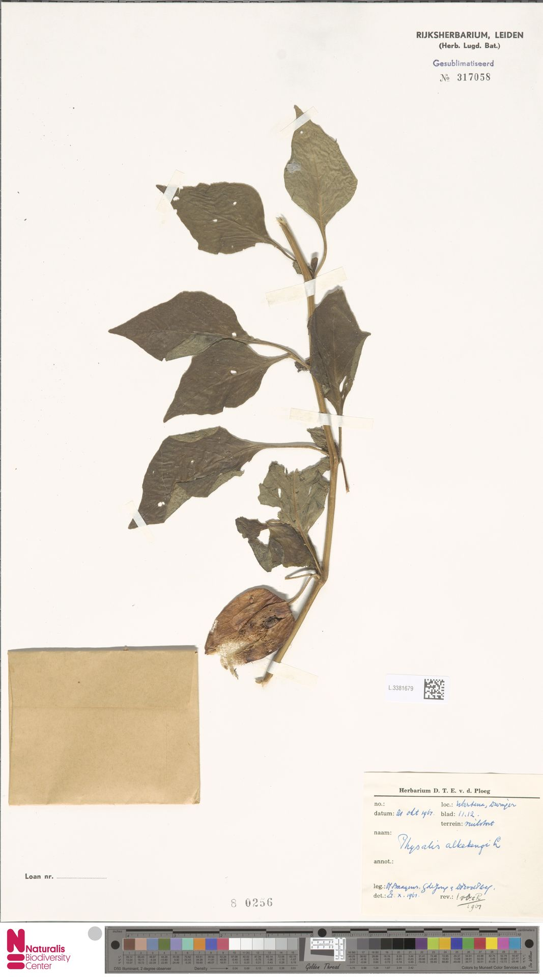 L.3381679 | Physalis alkekengi L.