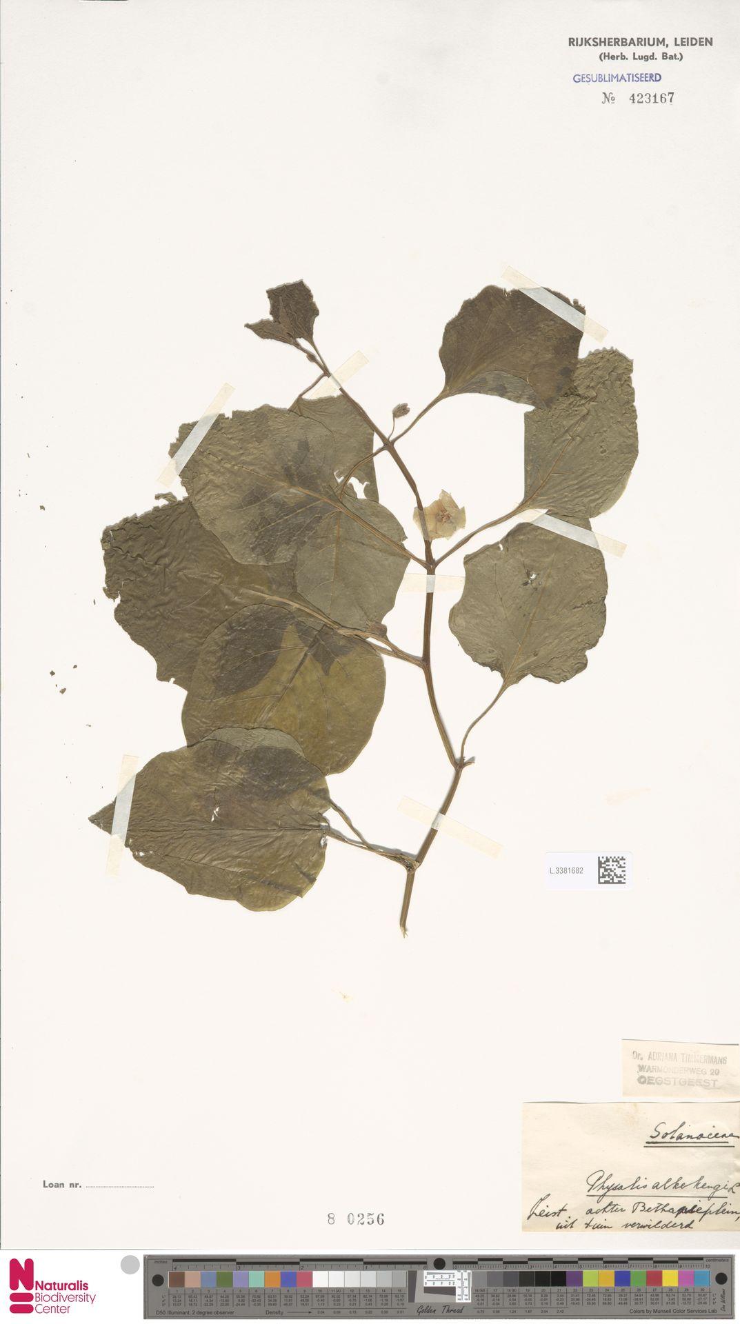 L.3381682 | Physalis alkekengi L.