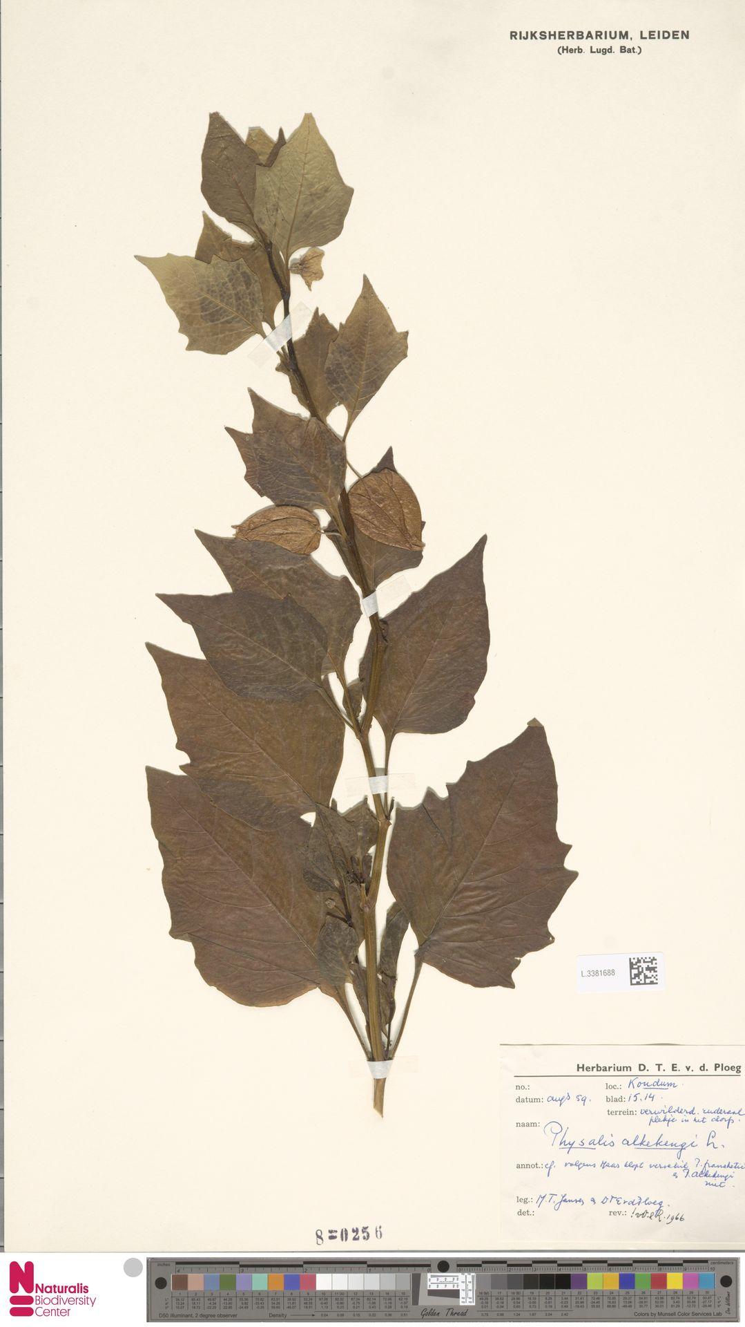 L.3381688 | Physalis alkekengi L.