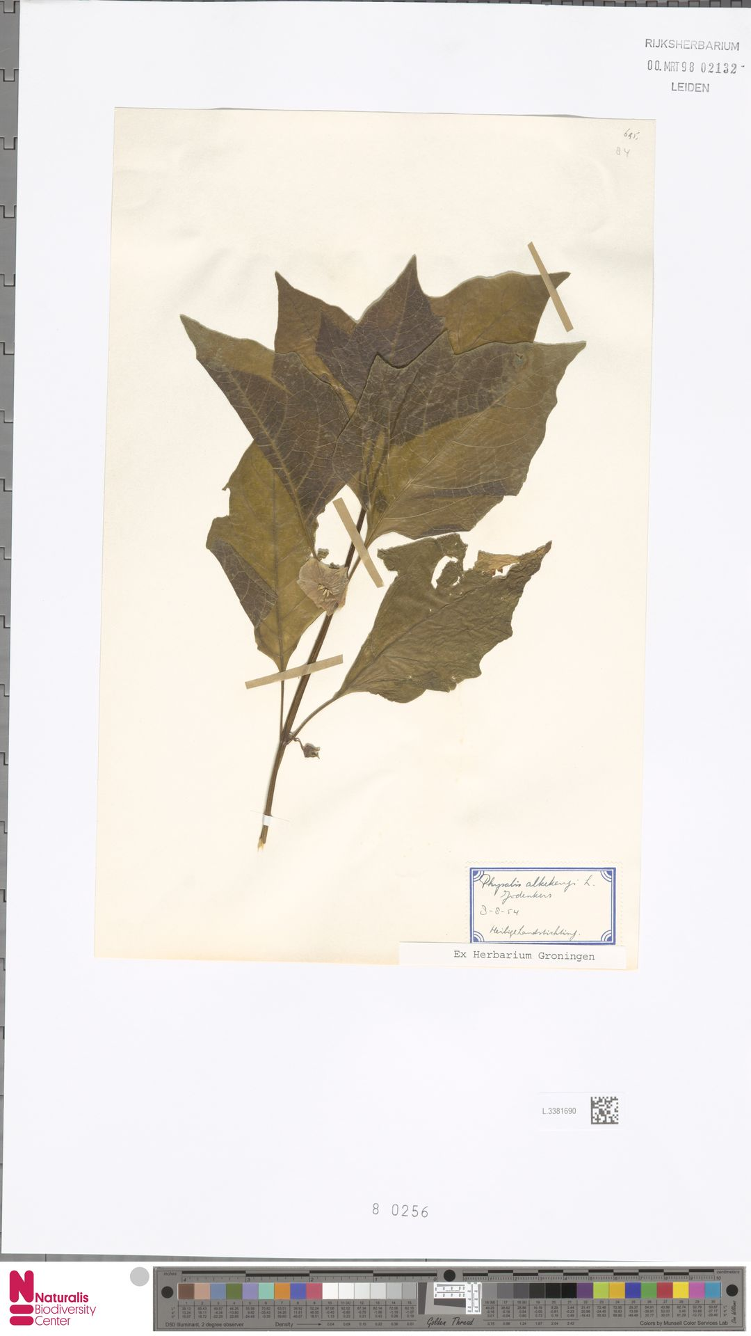 L.3381690 | Physalis alkekengi L.