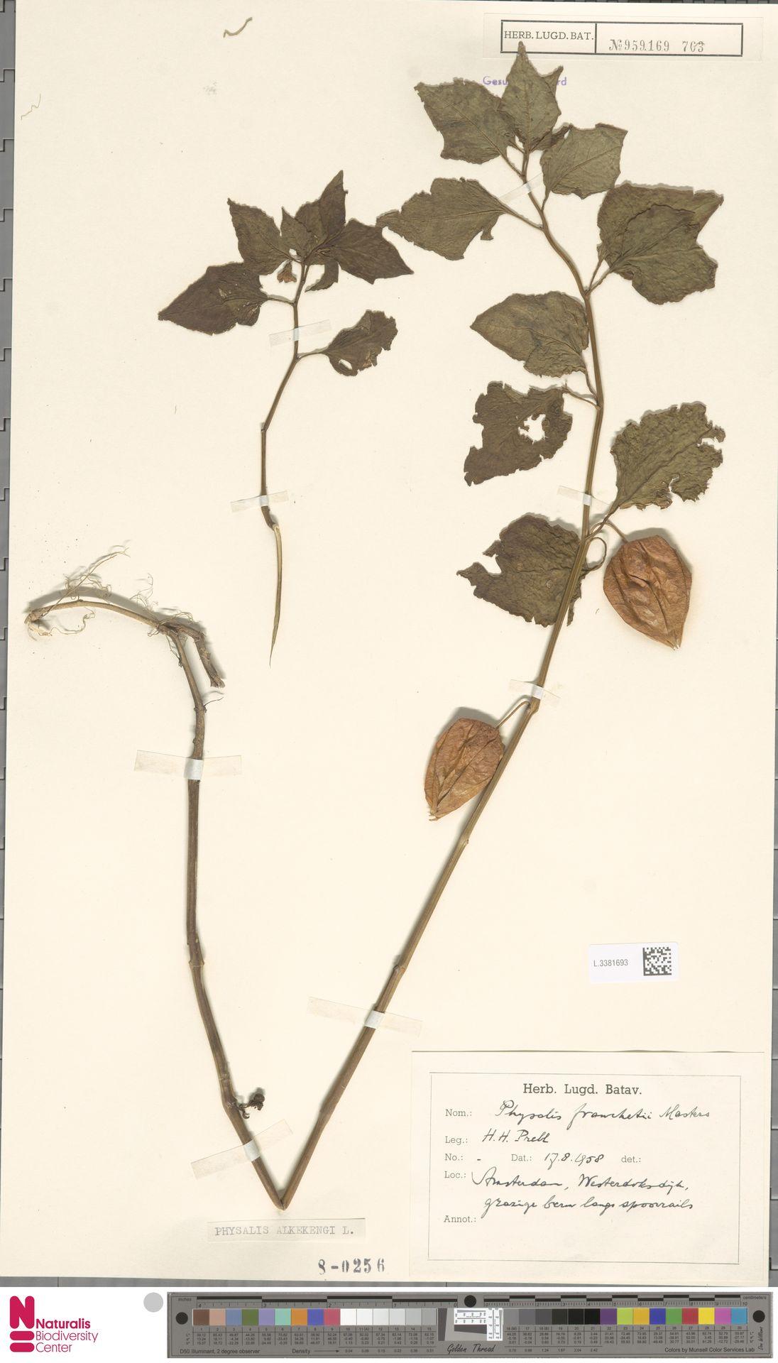 L.3381693 | Physalis alkekengi L.