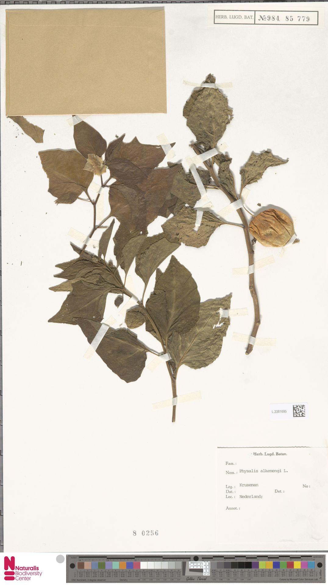 L.3381695 | Physalis alkekengi L.