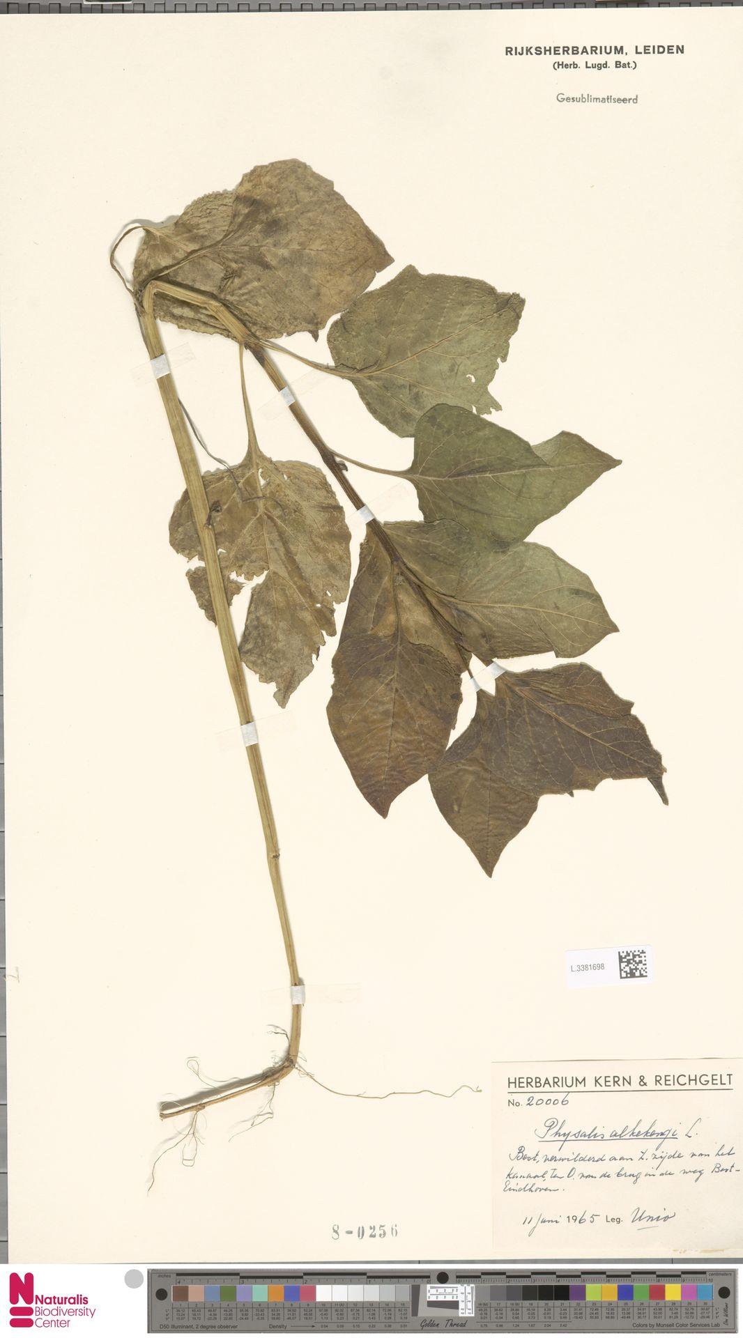 L.3381698 | Physalis alkekengi L.