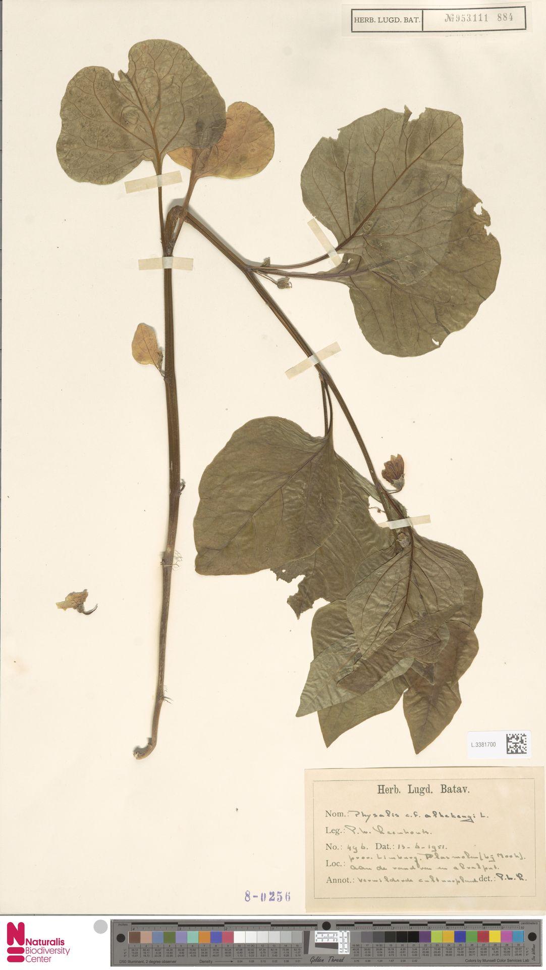 L.3381700   Physalis alkekengi L.