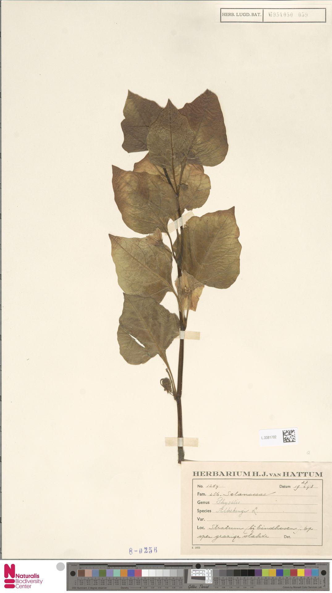 L.3381702   Physalis alkekengi L.