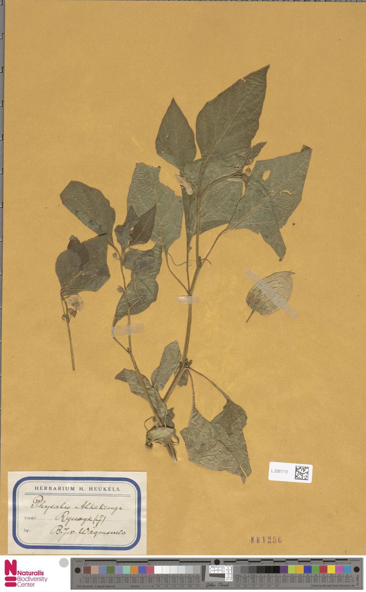L.3381712   Physalis alkekengi L.