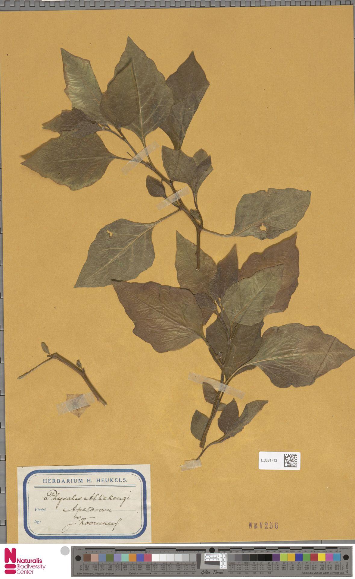 L.3381713 | Physalis alkekengi L.