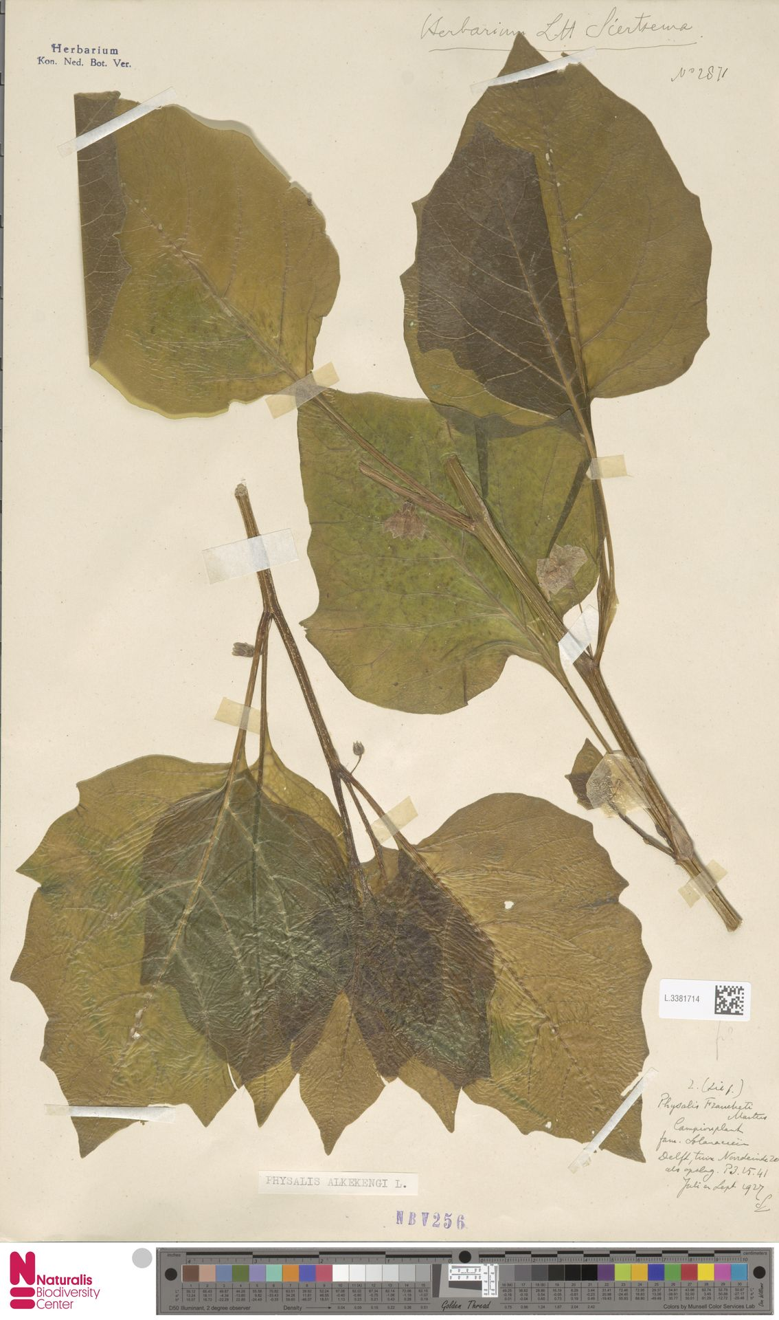 L.3381714 | Physalis alkekengi L.