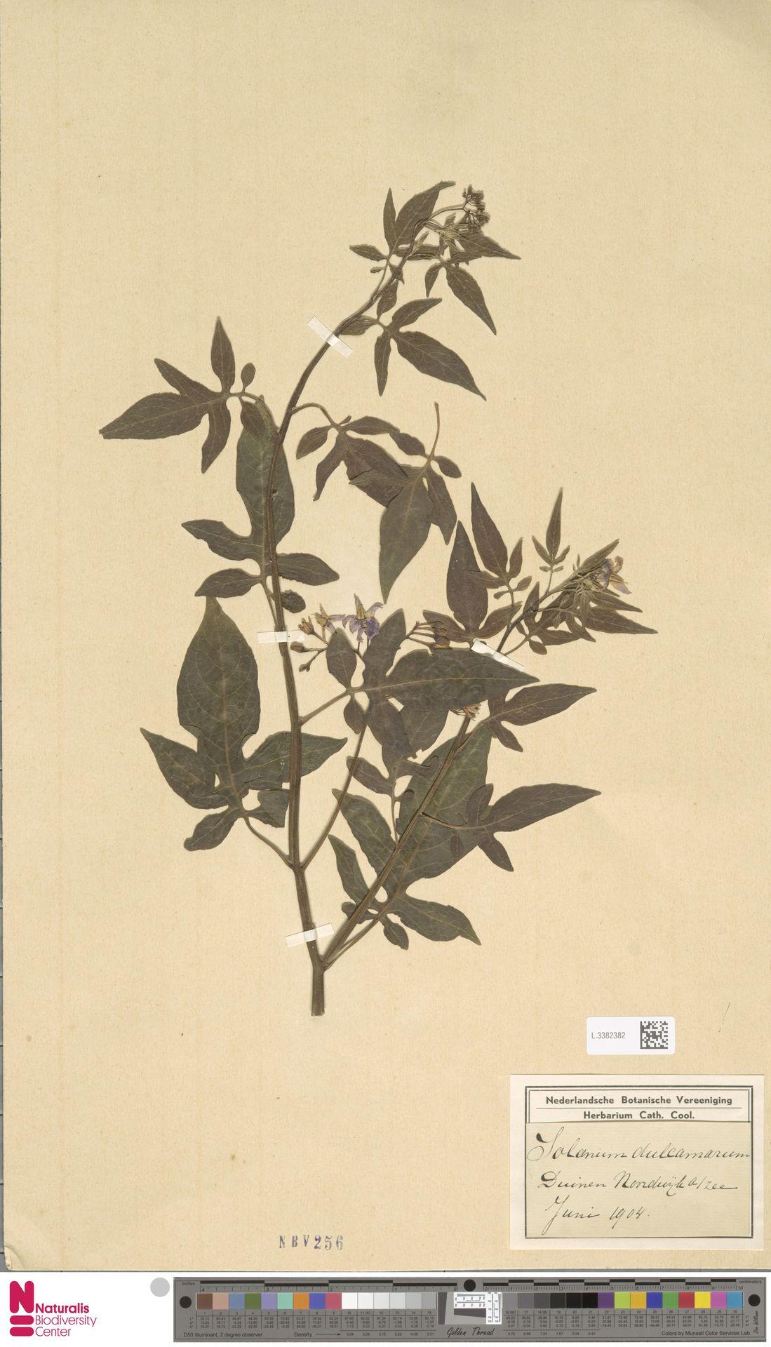 L.3382382 | Solanum dulcamara L.