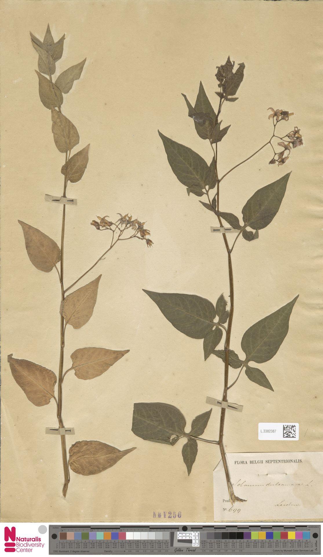 L.3382387 | Solanum dulcamara L.
