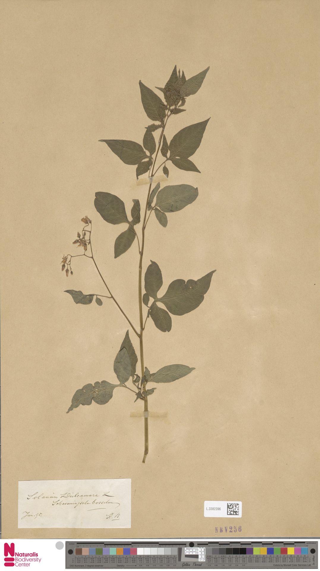 L.3382396 | Solanum dulcamara L.