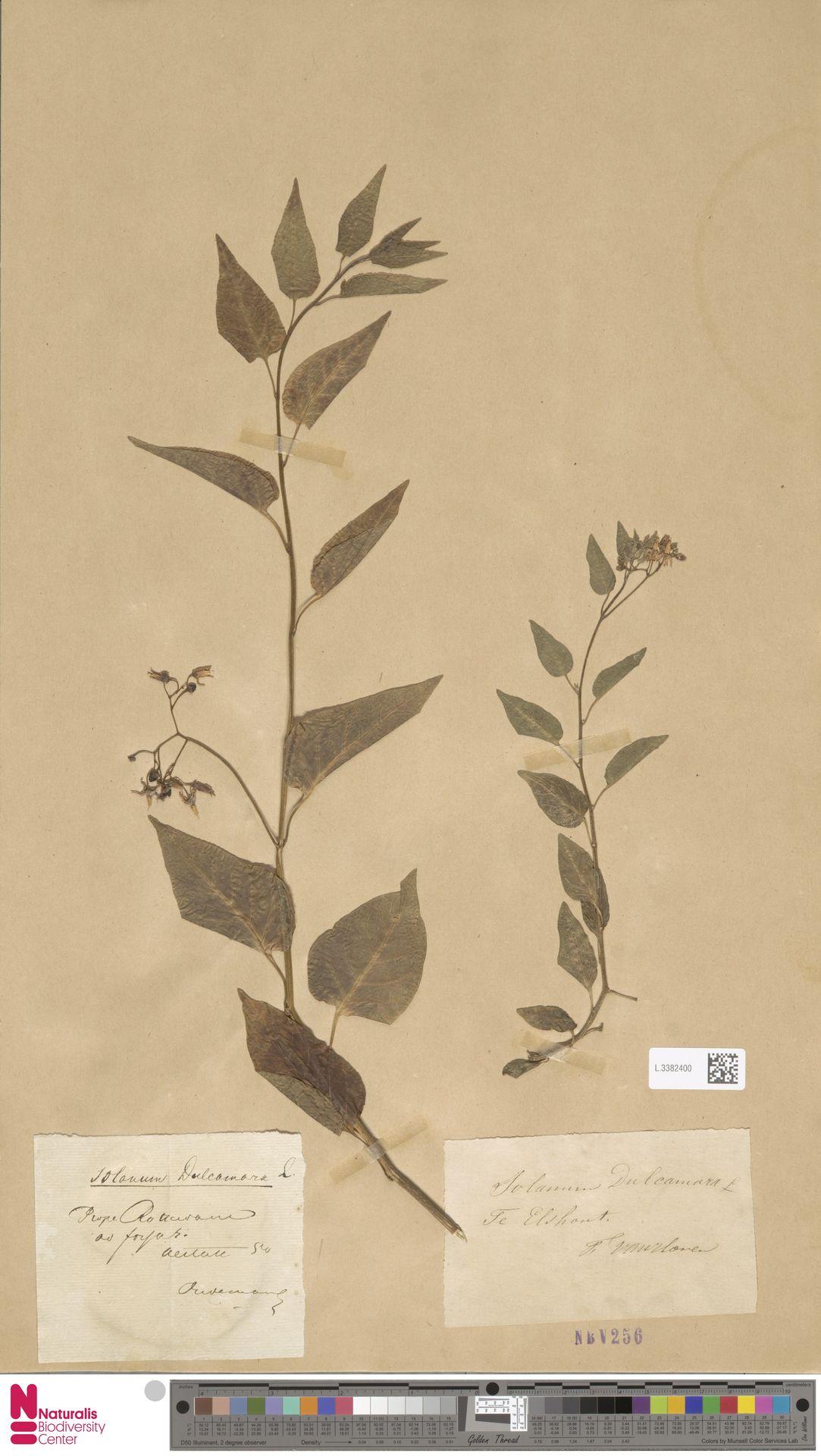 L.3382400 | Solanum dulcamara L.