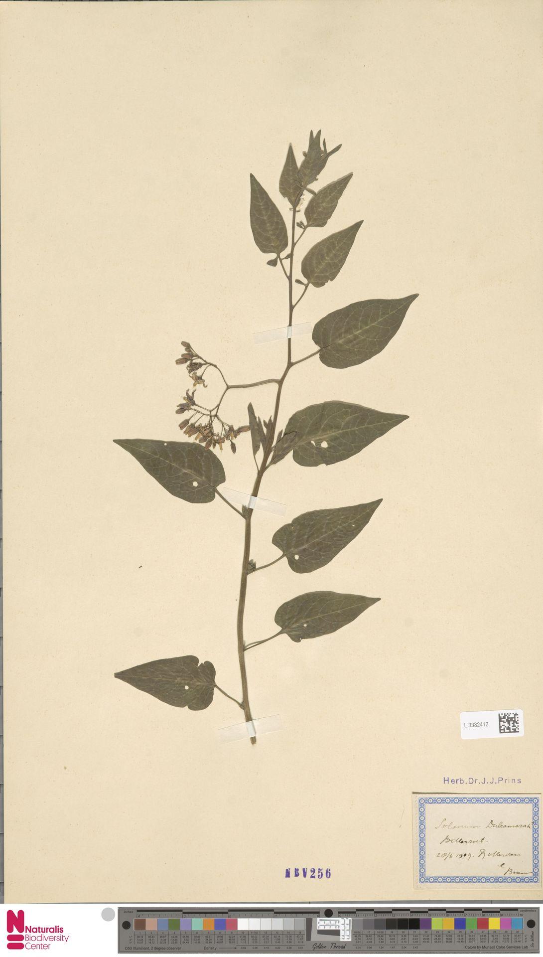 L.3382412 | Solanum dulcamara L.