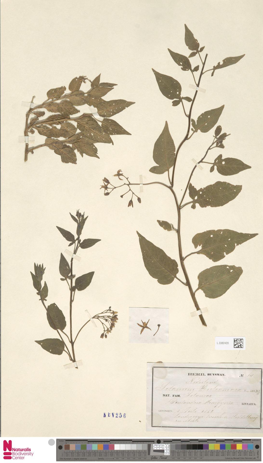 L.3382420 | Solanum dulcamara L.