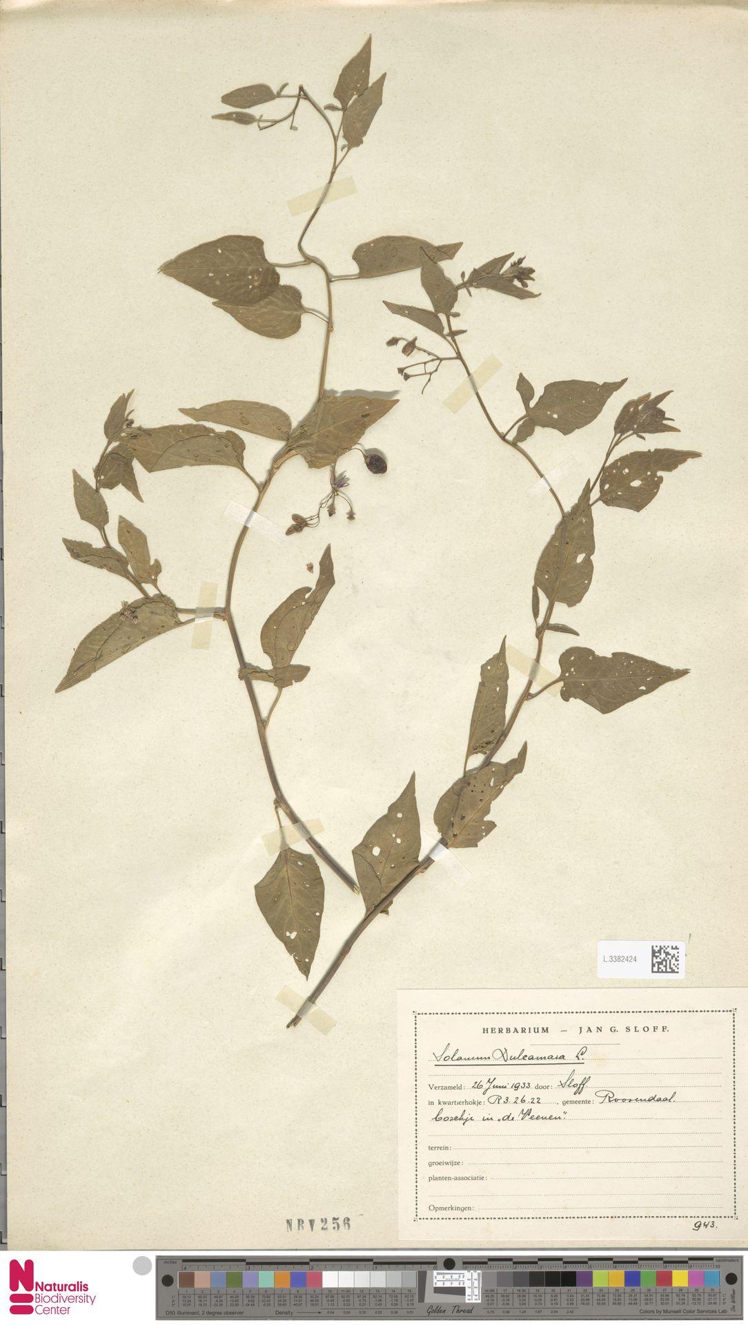 L.3382424 | Solanum dulcamara L.