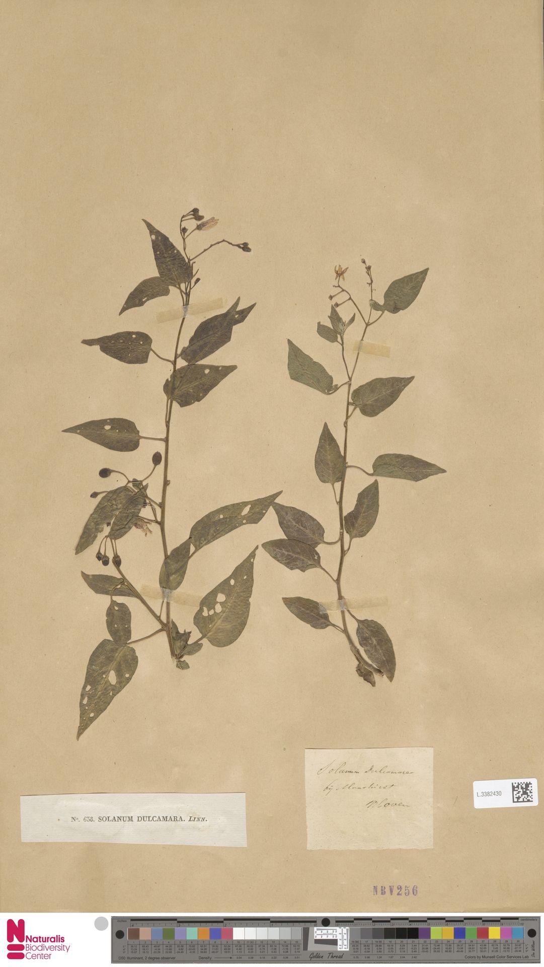 L.3382430 | Solanum dulcamara L.