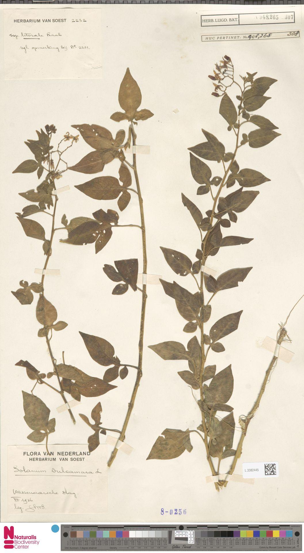 L.3382445 | Solanum dulcamara L.