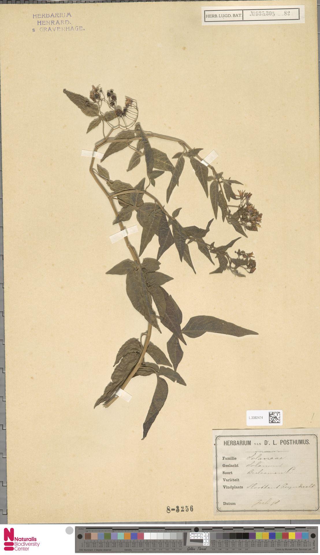 L.3382474 | Solanum dulcamara L.