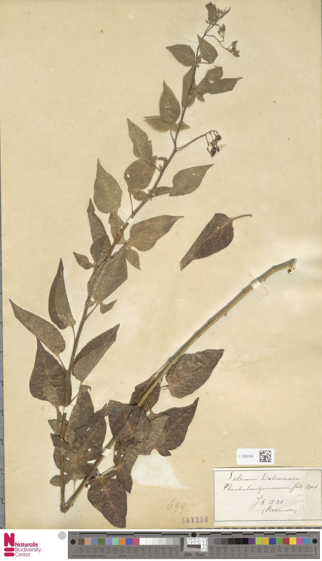L.3382484 | Solanum dulcamara L.