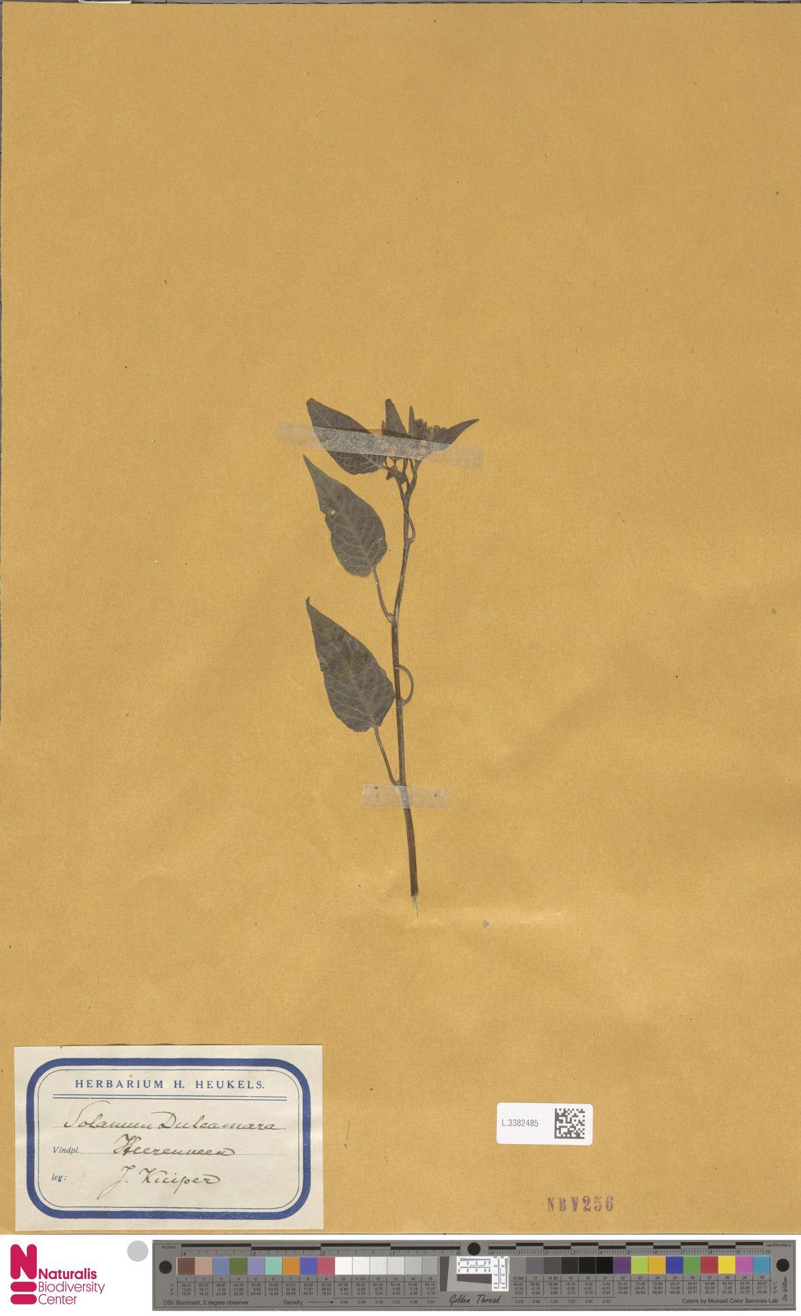 L.3382485 | Solanum dulcamara L.