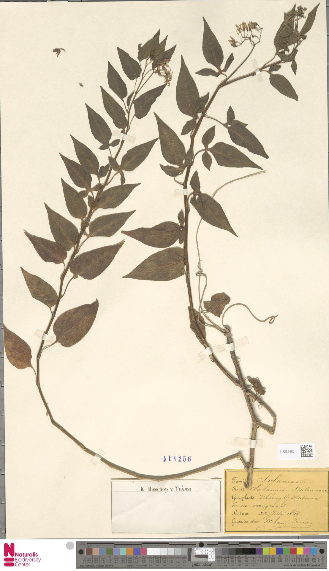 L.3382486 | Solanum dulcamara L.