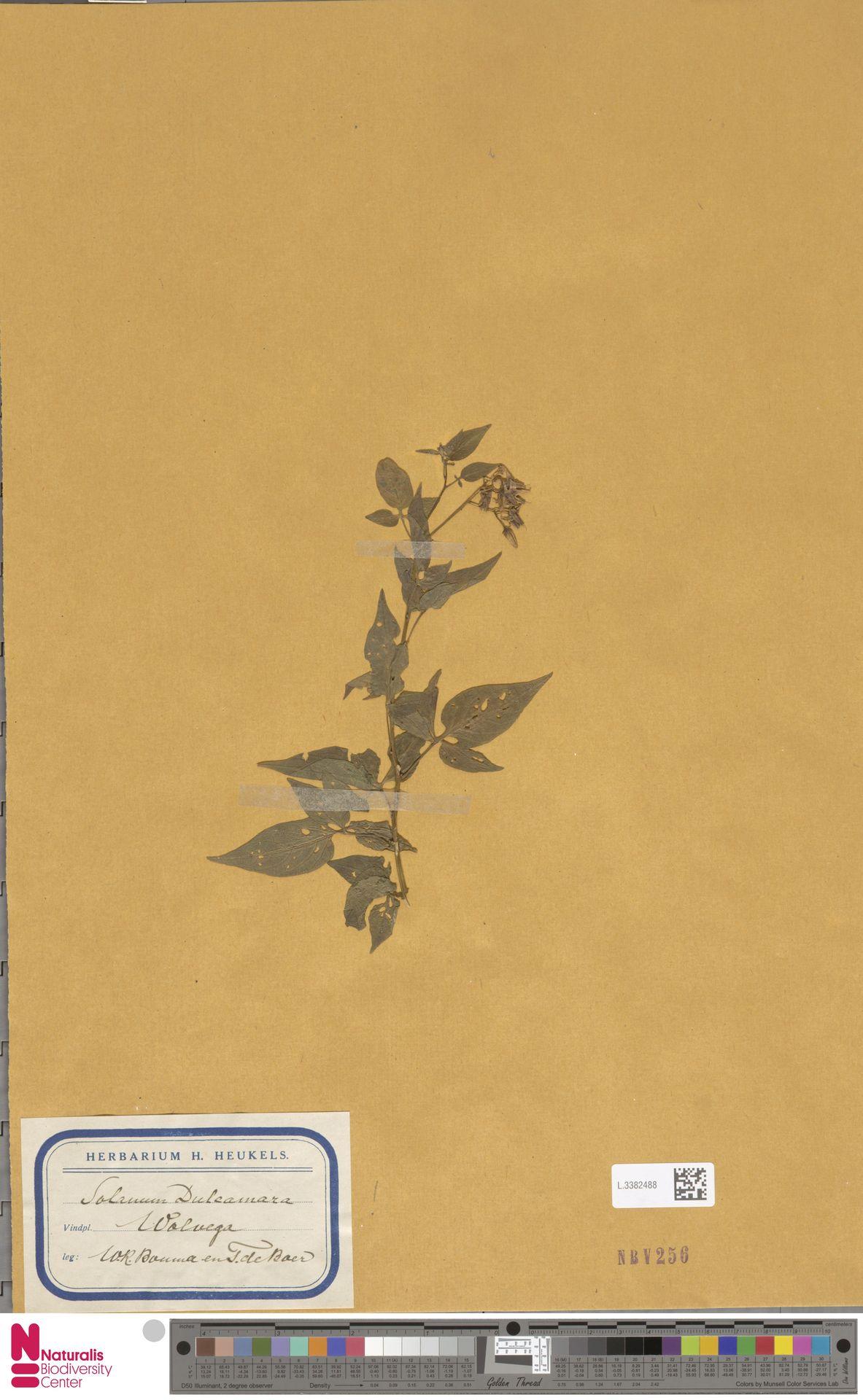 L.3382488 | Solanum dulcamara L.