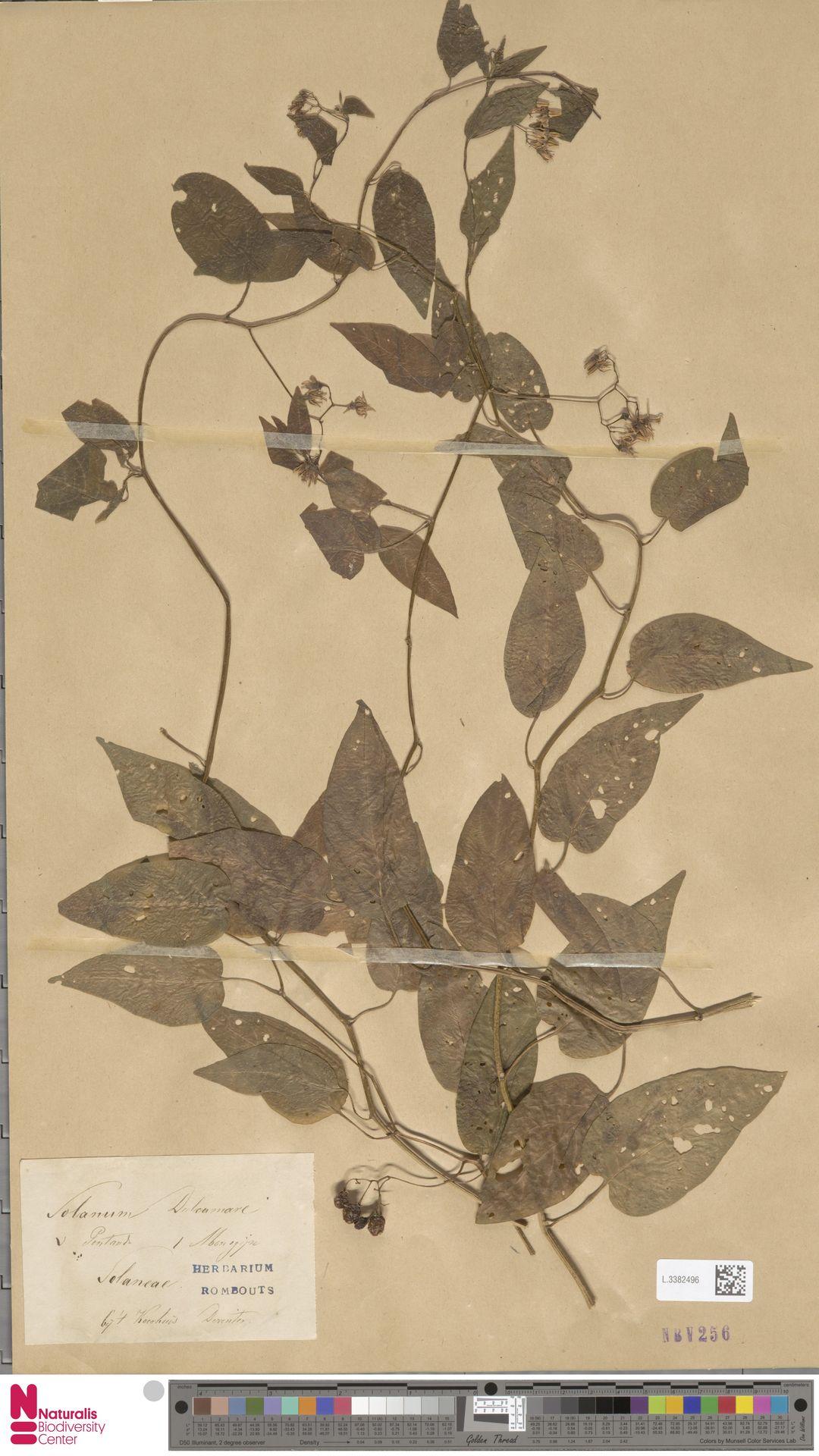 L.3382496 | Solanum dulcamara L.