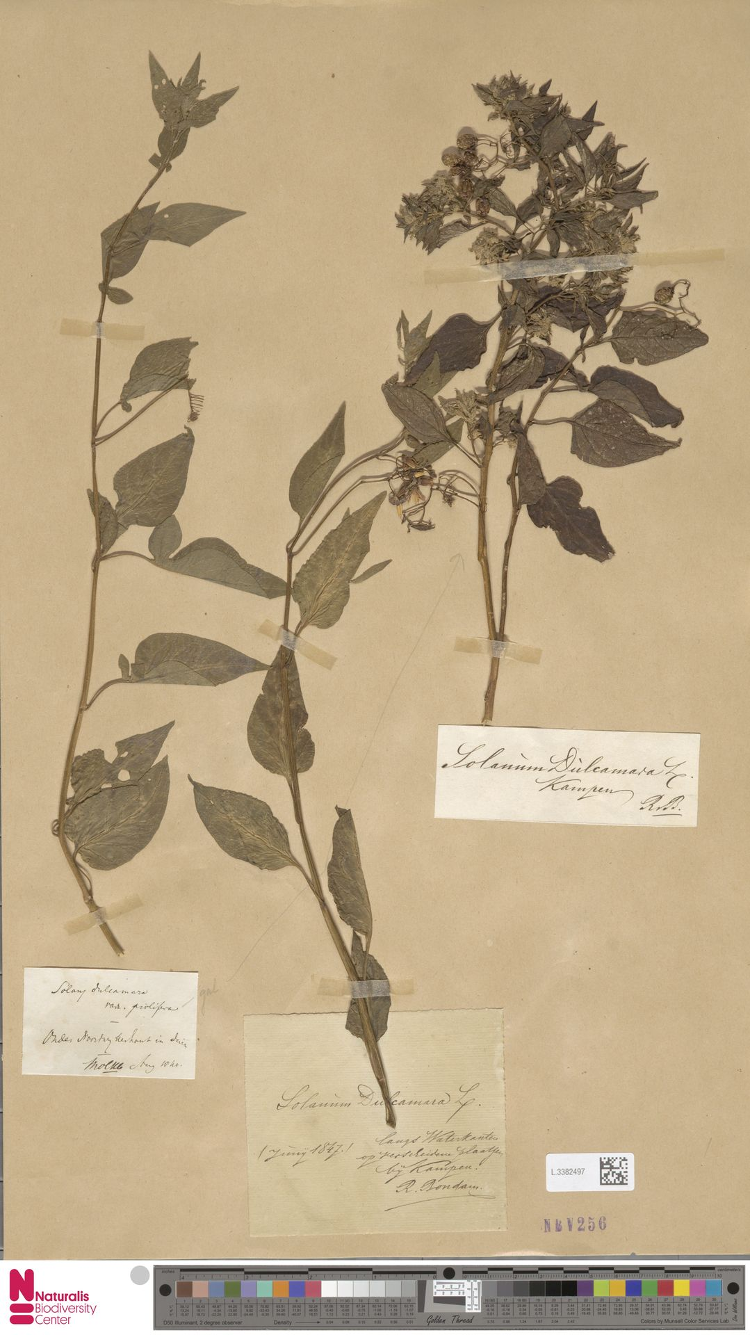 L.3382497 | Solanum dulcamara L.