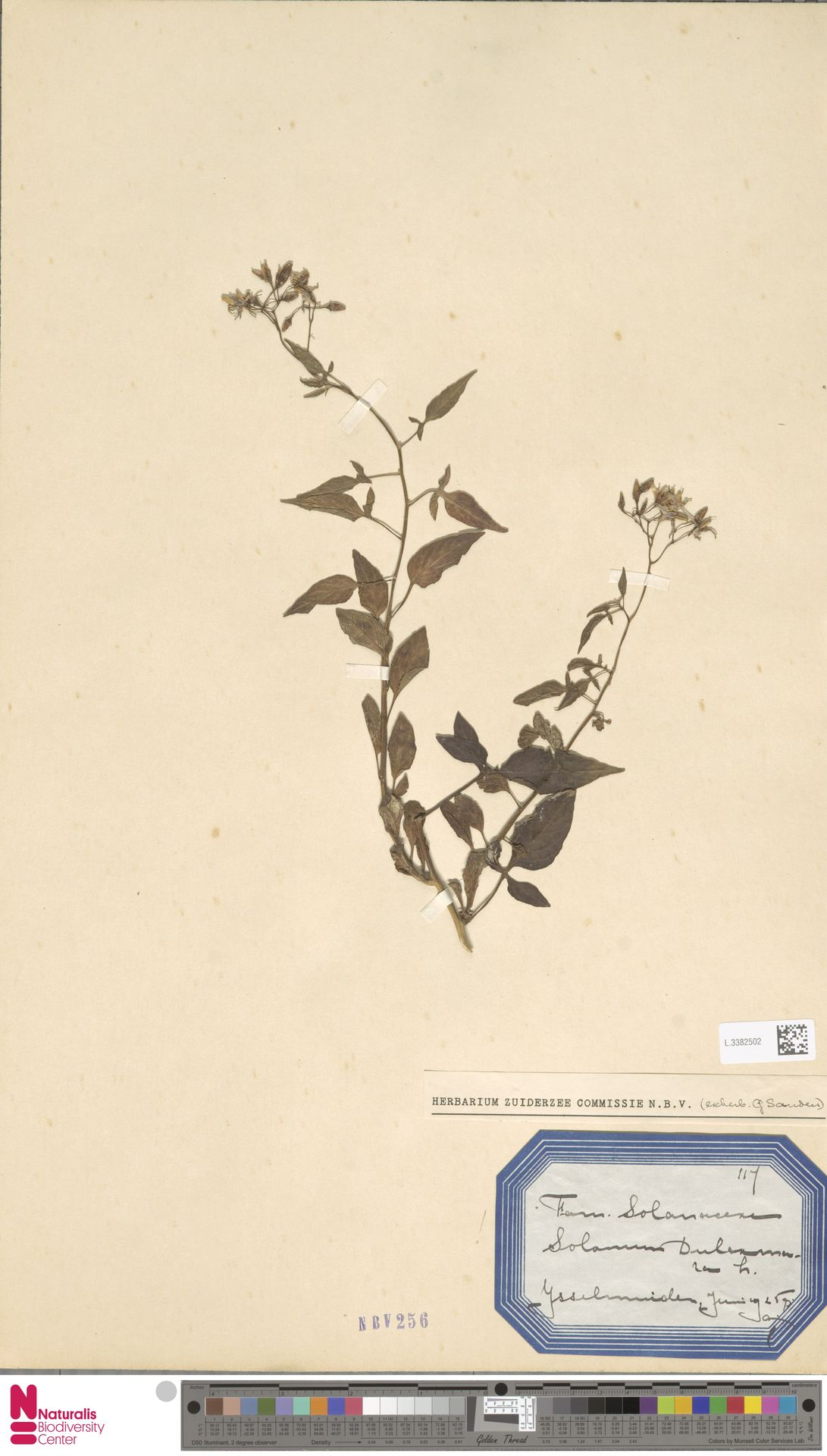 L.3382502 | Solanum dulcamara L.