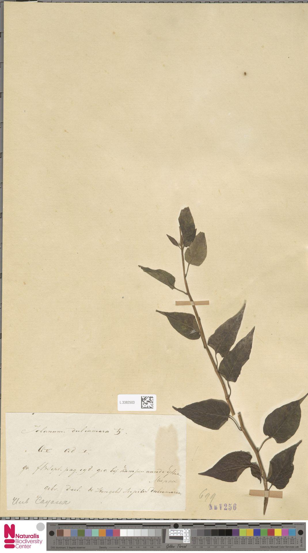 L.3382503 | Solanum dulcamara L.
