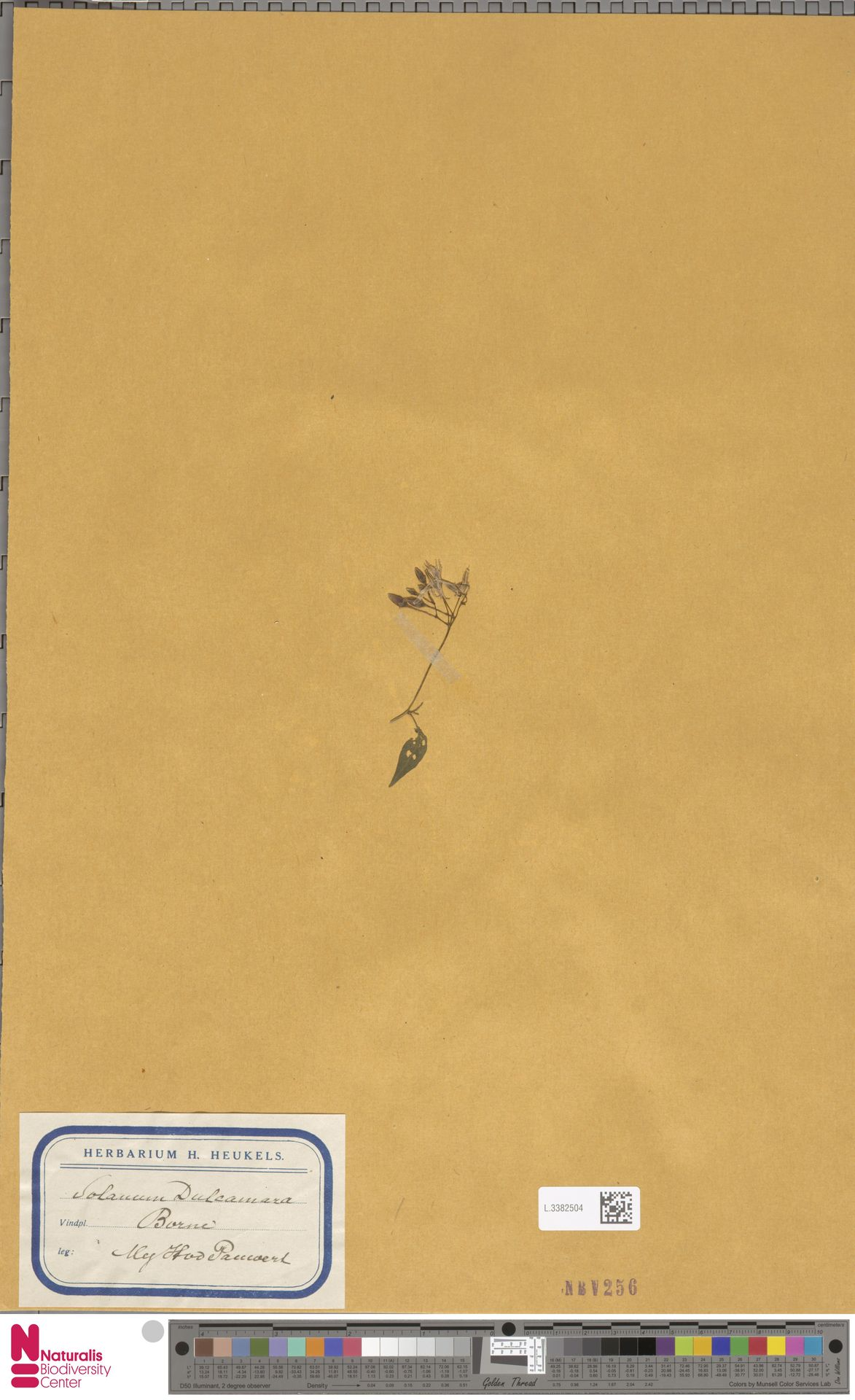 L.3382504 | Solanum dulcamara L.