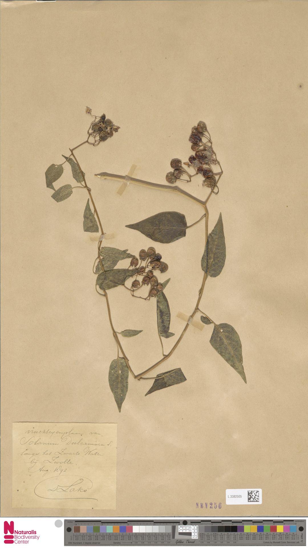L.3382505 | Solanum dulcamara L.