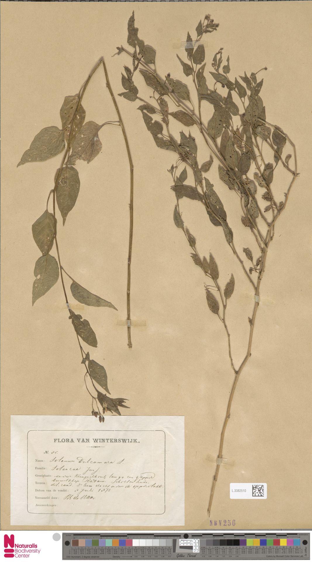 L.3382510   Solanum dulcamara L.