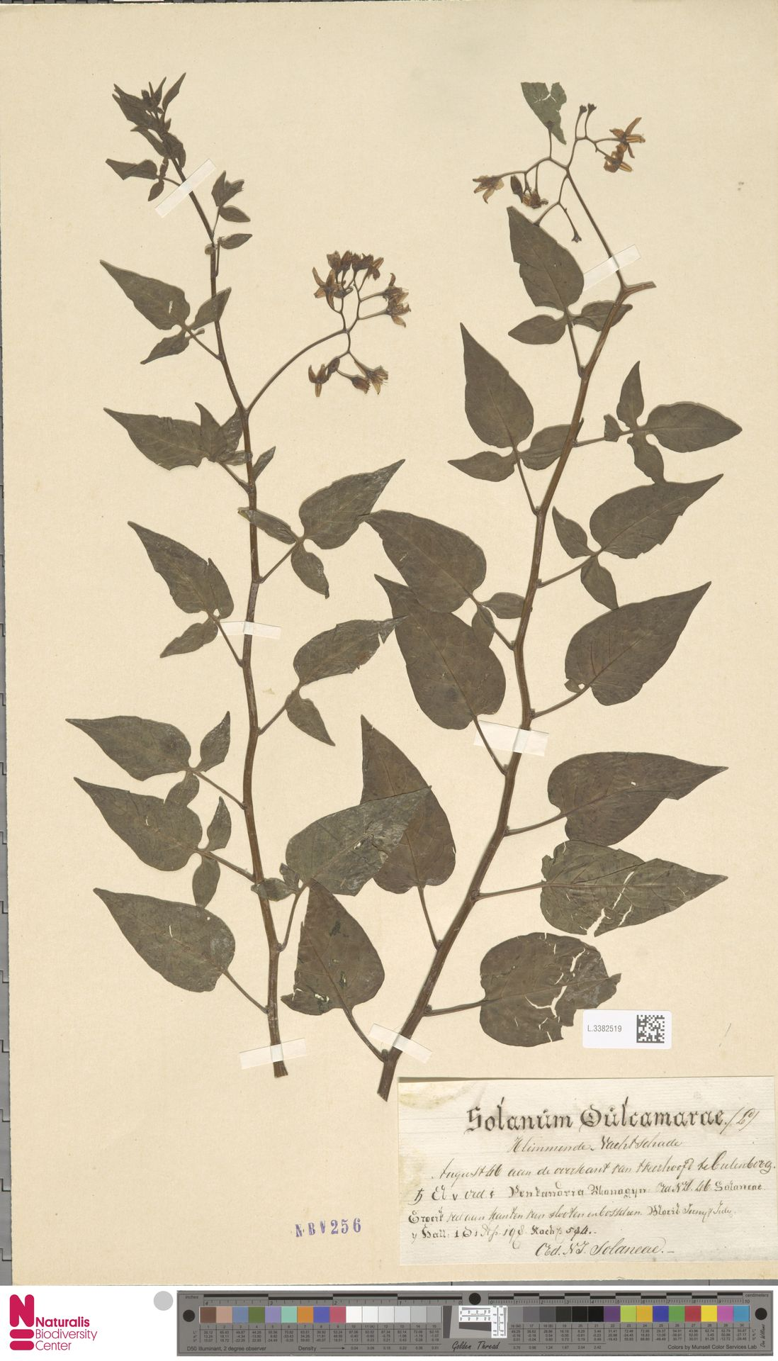 L.3382519 | Solanum dulcamara L.